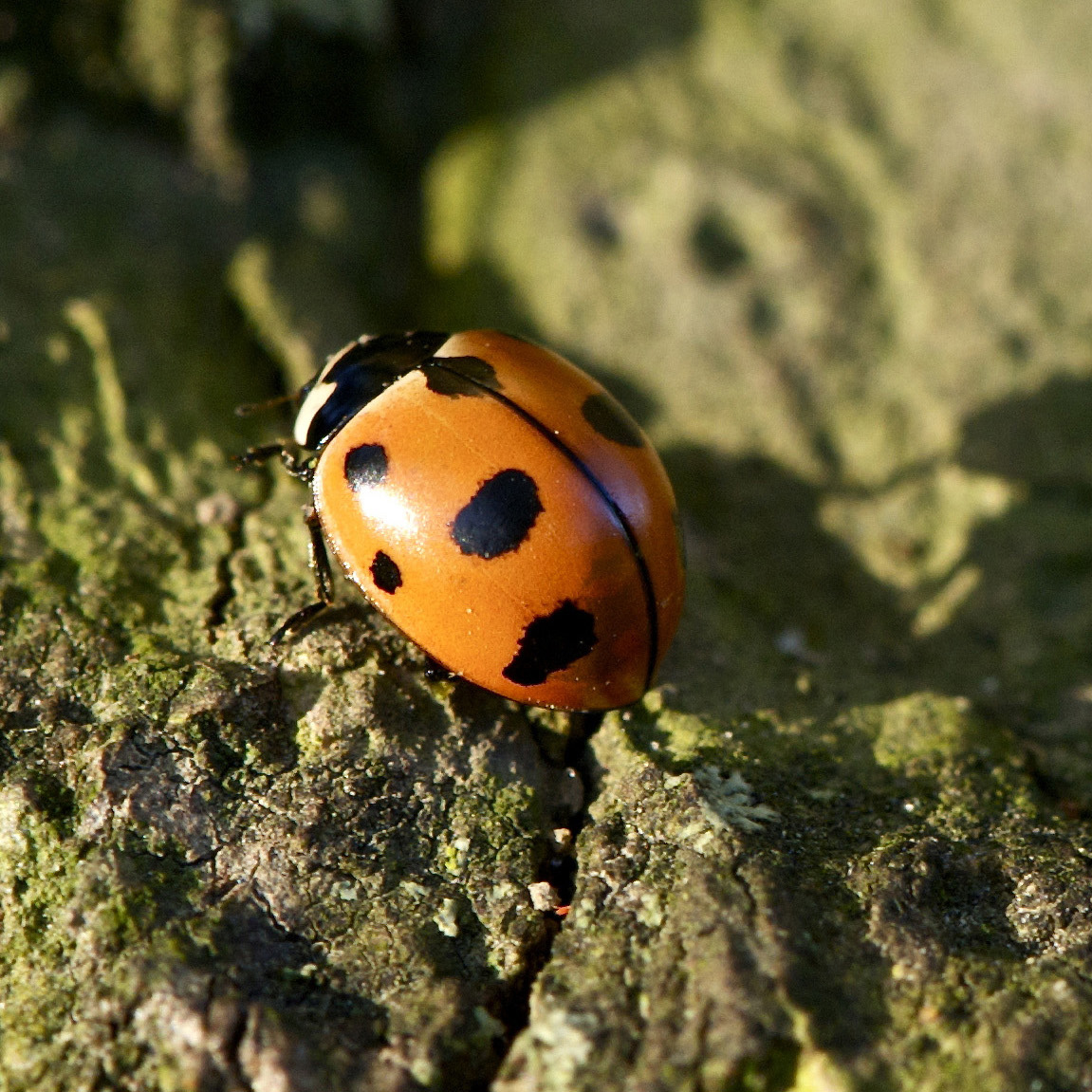 A red lady beetle (a.k.a. ladybug) is perched atop a mossy log.