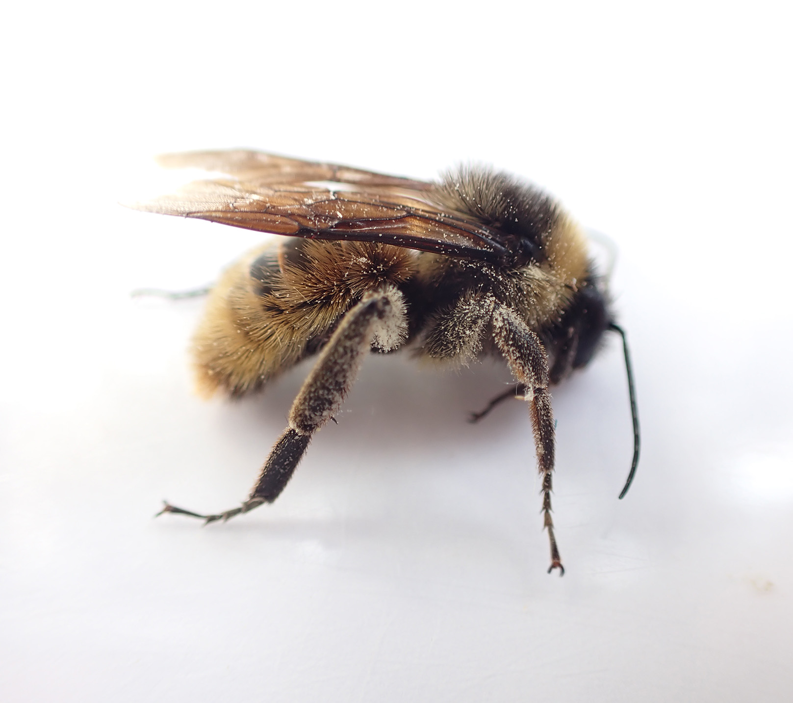 A bumble bee with fuzzy, somewhat distinct body segments, clings to a round, purple flower.