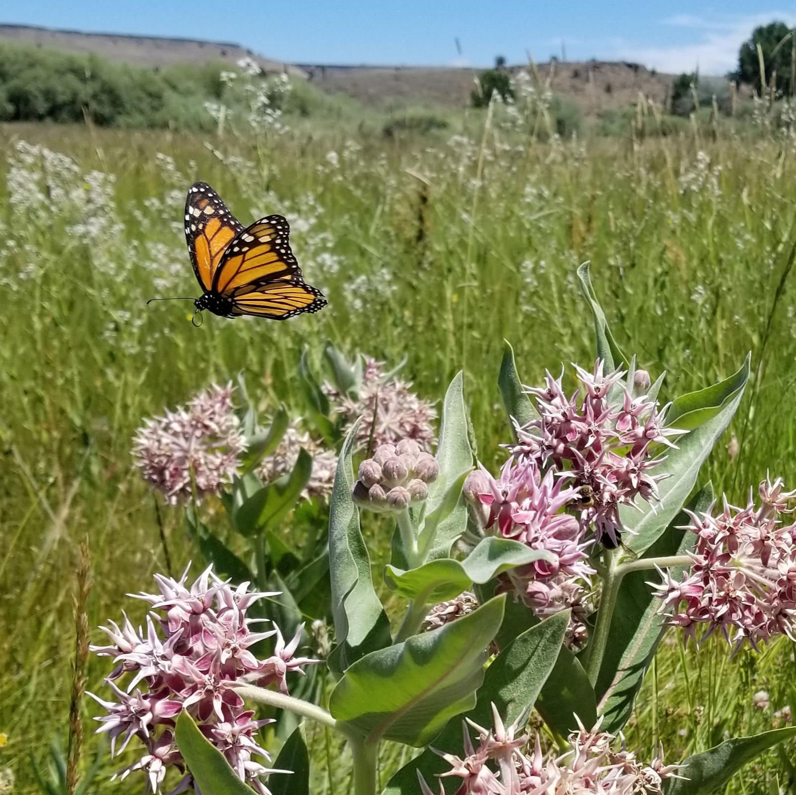 A bright orange monarch flutters over pink milkweed blossoms in a green, grassy landscape.