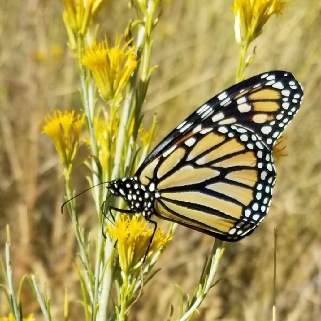 A monarch clings to a stalk that has multiple brushy, yellow flowers.