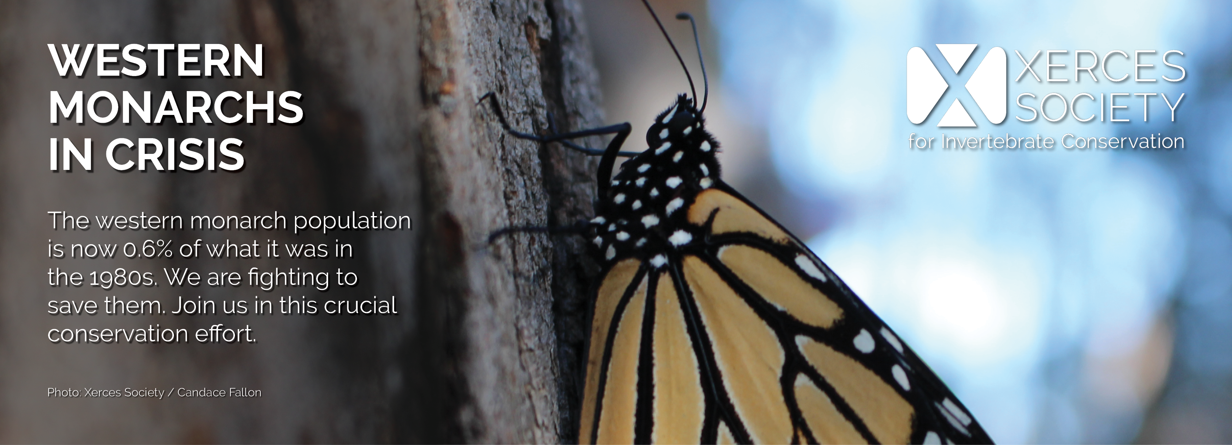 This banner, featuring a monarch clutching a tree trunk in a dimly-lit scene, says: Western Monarchs in Crisis: The western monarch population is now 0.6% of what it was in the 1980s. We are fighting to save them. Join us in this crucial conservation effort.