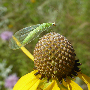 A bright green insect with translucent wings perches atop a yellow flower with a large, spherical center.