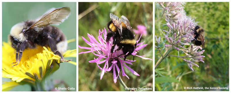 Some of the target species for Wildlife Preservation Canada's citizen science survey program – gypsy cuckoo (left), yellow-banded (center), and rusty-patched (right) bumble bees.