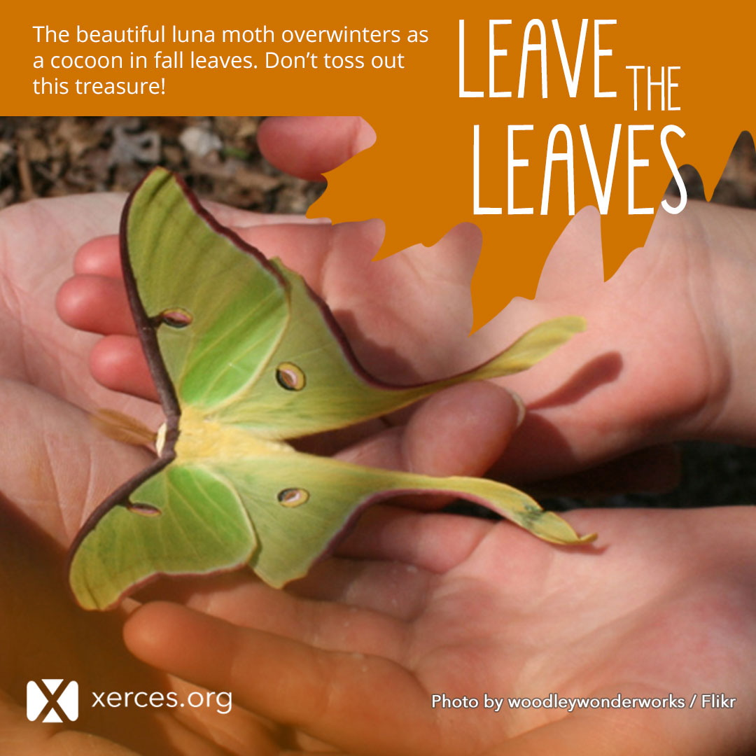 A bright green luna moth is shown in this Leave the Leaves! graphic.