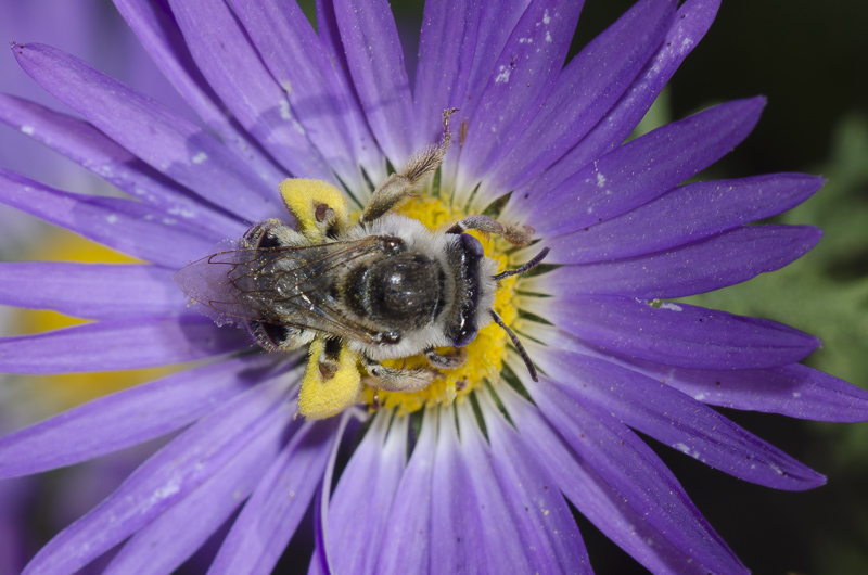 A bee with grayish coloring sits in the middle of a flower with a bright yellow center and purple petals.