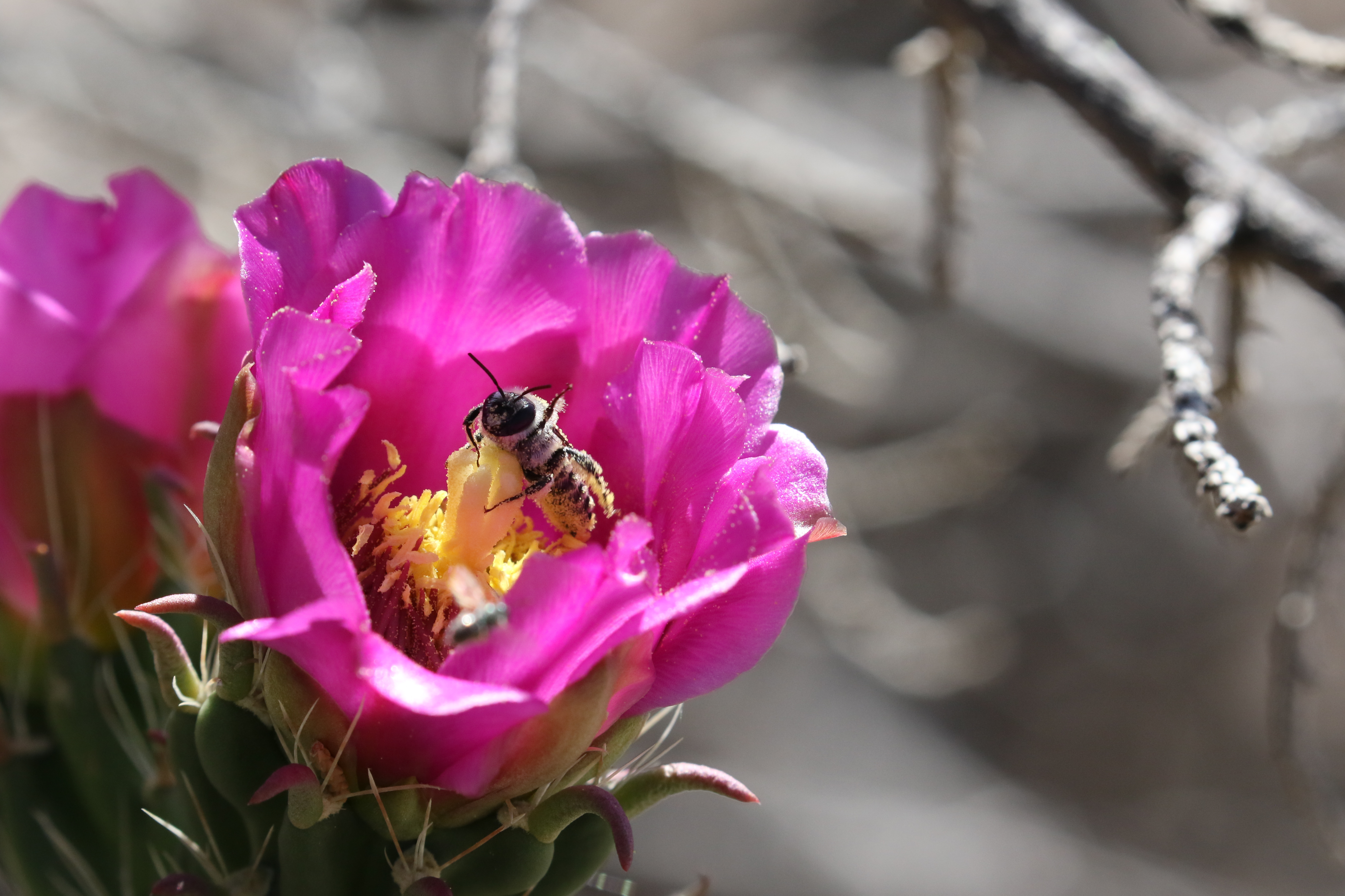 A small bee peers out of the center of a large, pink cactus flower, which is somewhat shaped like a cup.