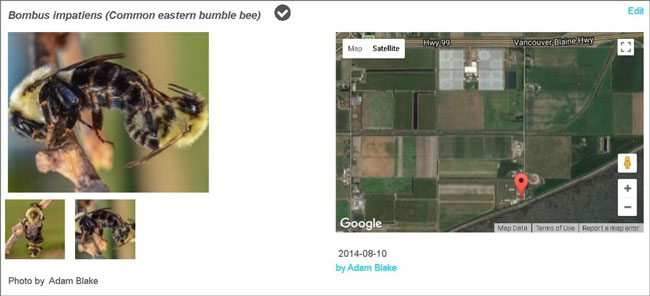 The photos on the left above clearly show a common Eastern bumble bee queen (larger bee) mating with a male (smaller bee). This observation was made in Vancouver, BC in an area located close to greenhouses (the grey rectangles at the top of the map). Photo by Adam Blake via bumblebeewatch.org.