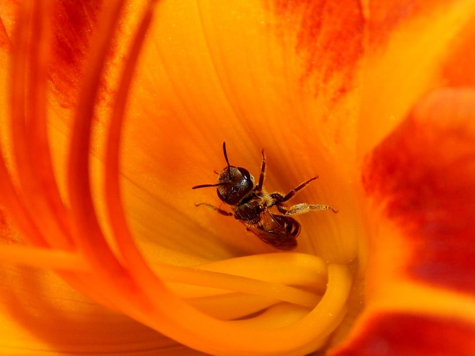 A bee is deep inside a bright orange-and-red flower