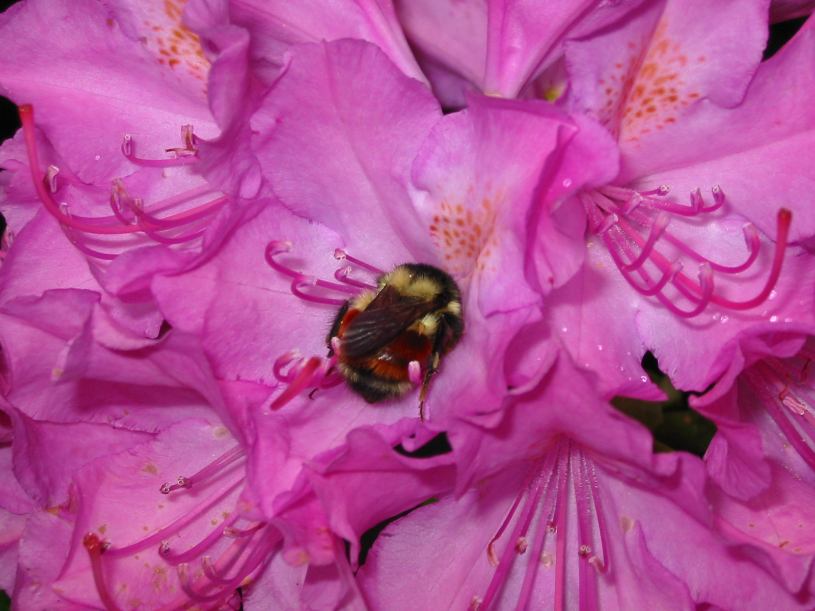 A fuzzy bumble bee is snuggled tight in a a pink rhododendron flower.