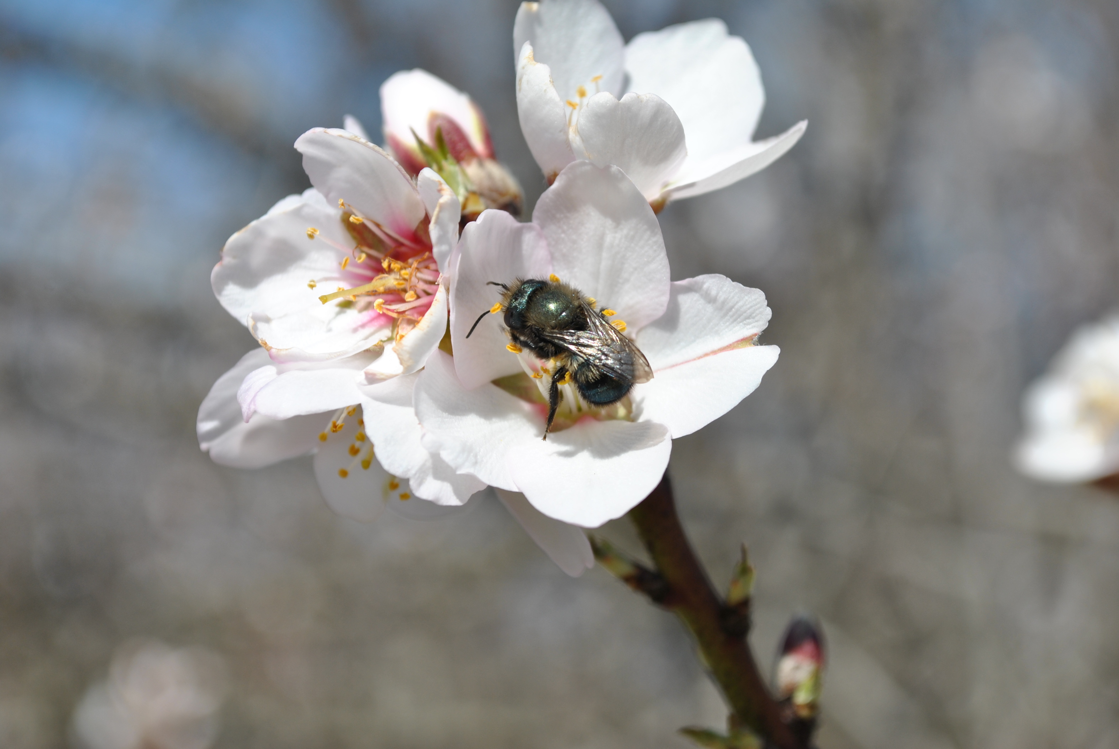 """A female blue orchard bee visits a while almond flower"""