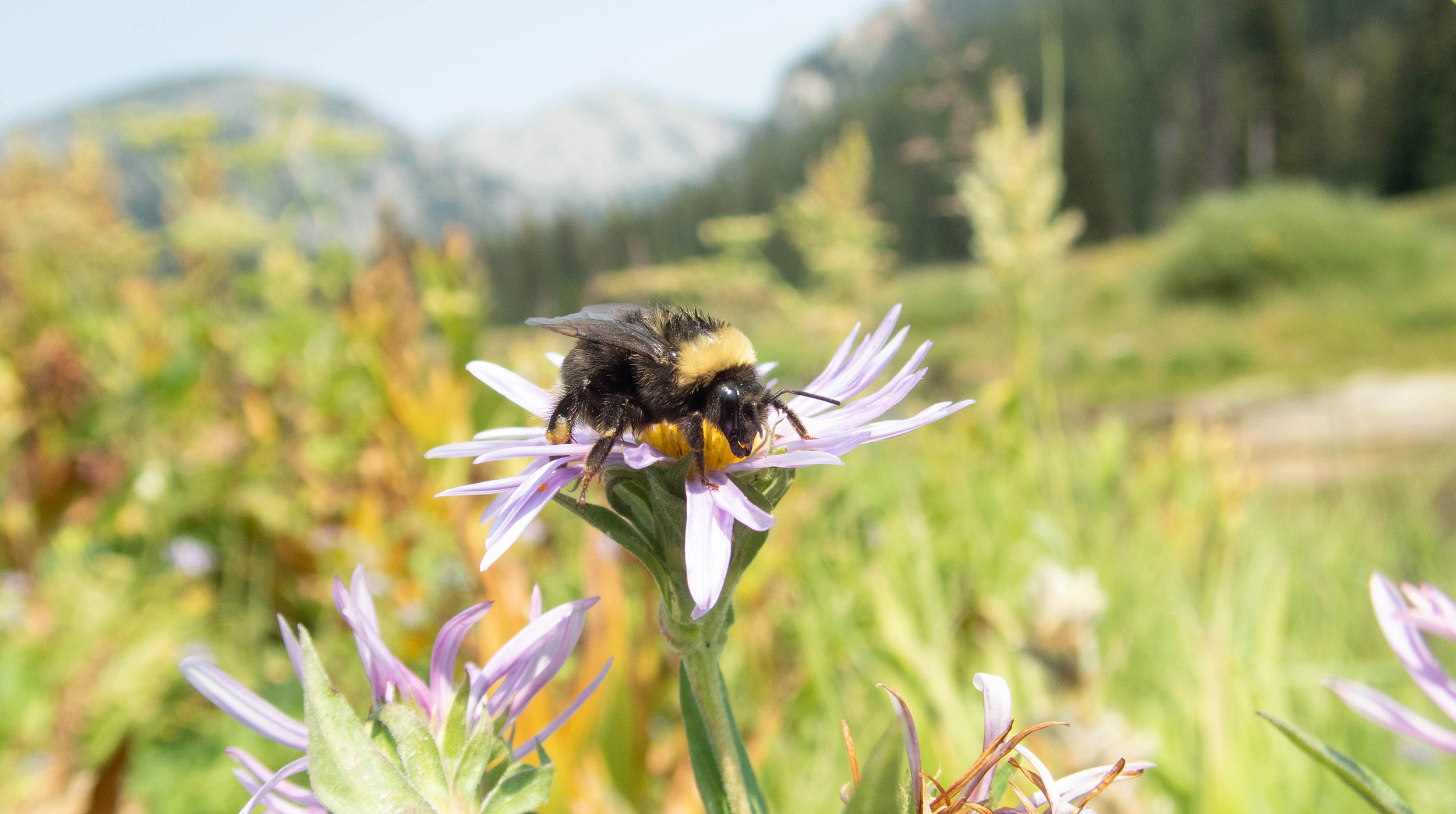A bumble bee that is black with yellow band across it's shoulders drink nectar from a purple and yellow colored aster flower