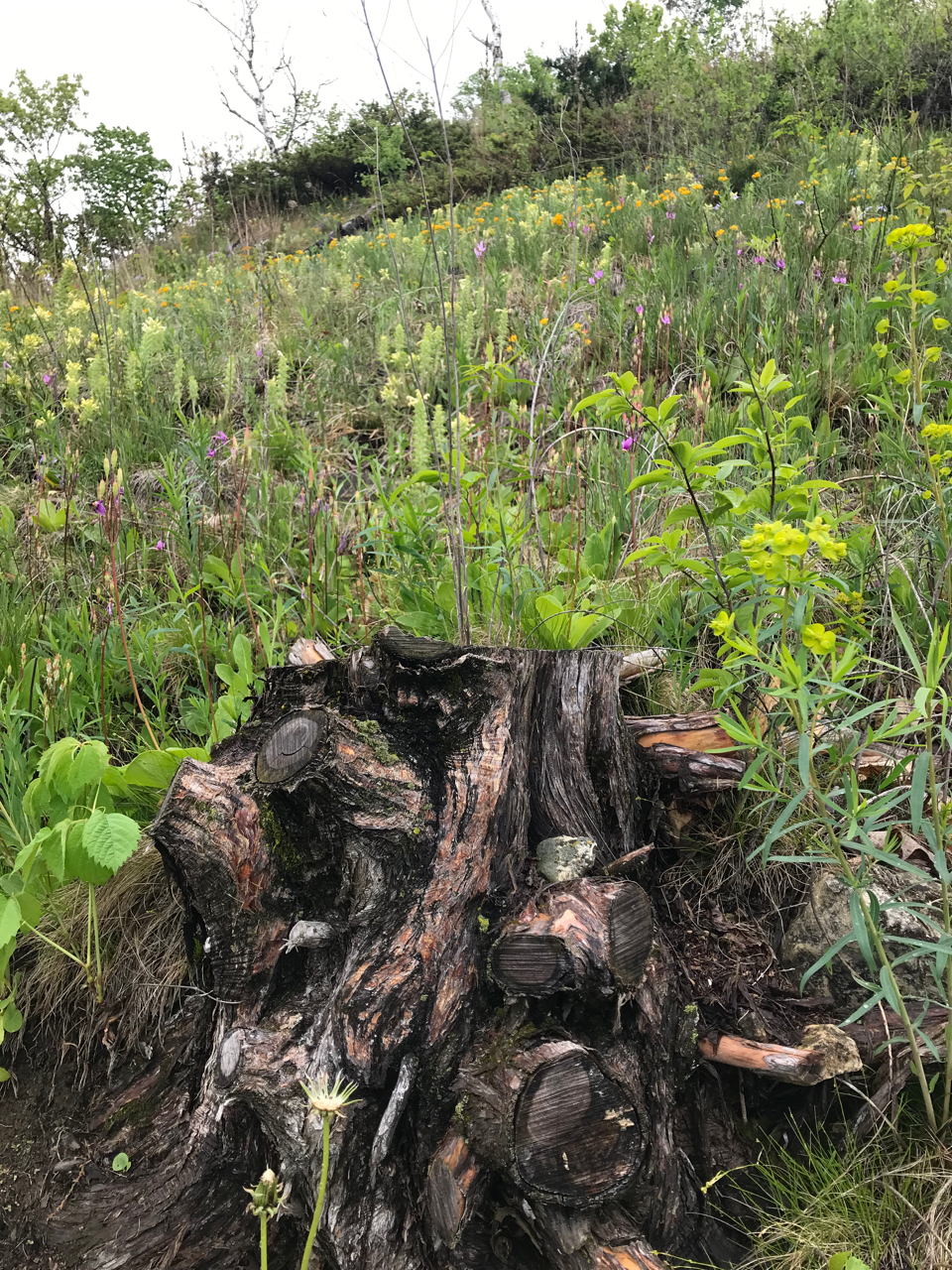 A blackened stump is surrounded by fresh growth on a hillside.