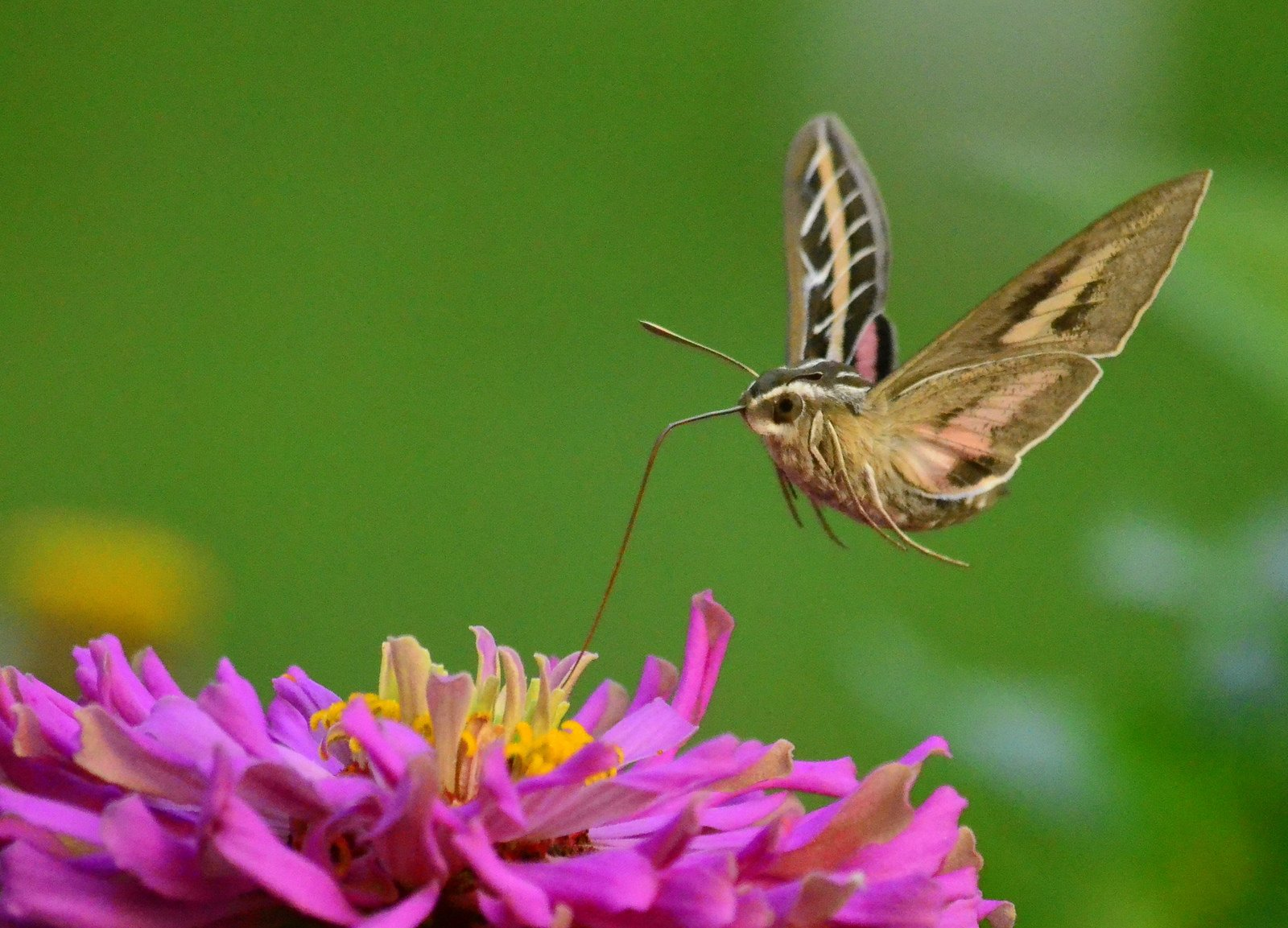 Flying above a bright-pink zinnia, a multicolored moth takes a sip of nectar.
