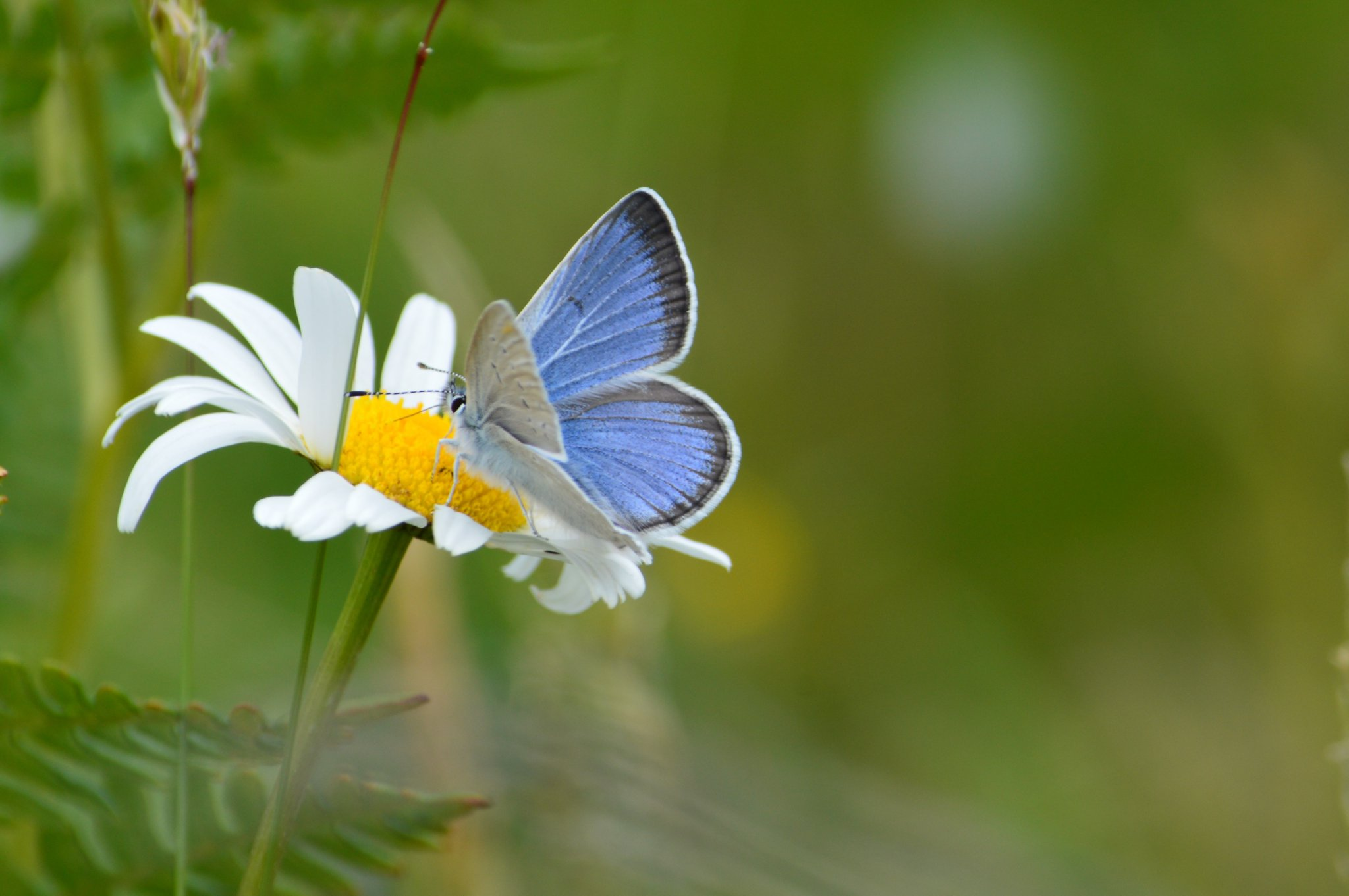 Resting on a single-stemmed white flower with a yellow center, a butterfly shows its wings that are blue and black on top and white-gray on the underside.