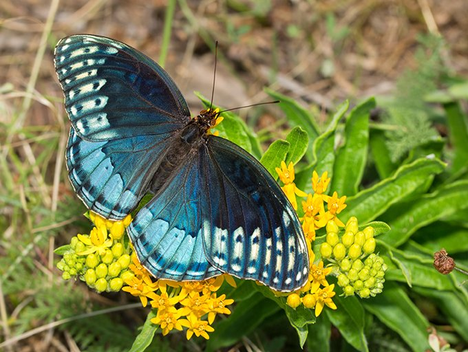 A butterfly in varying shades of blue lands on small yellow flowers.