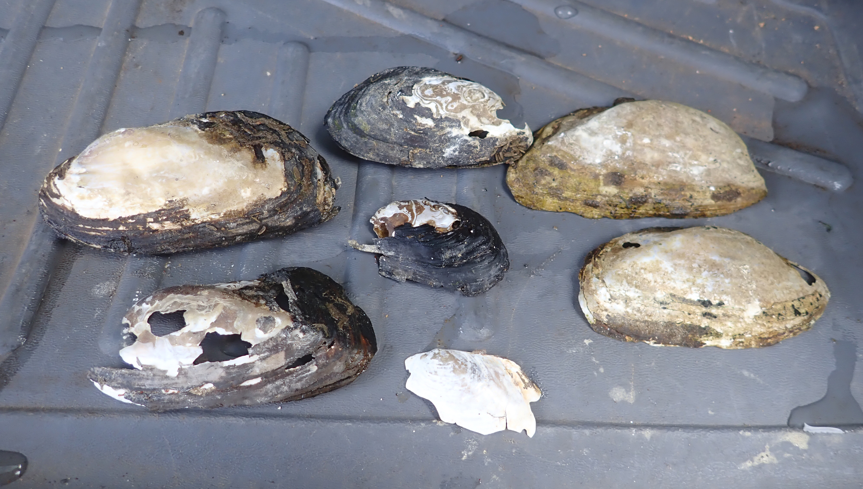 Laid out in the bed of a pickup truck, the brown-and-white weathered shells and shell fragments are the only signs that western ridged mussels where once abundant in this river.