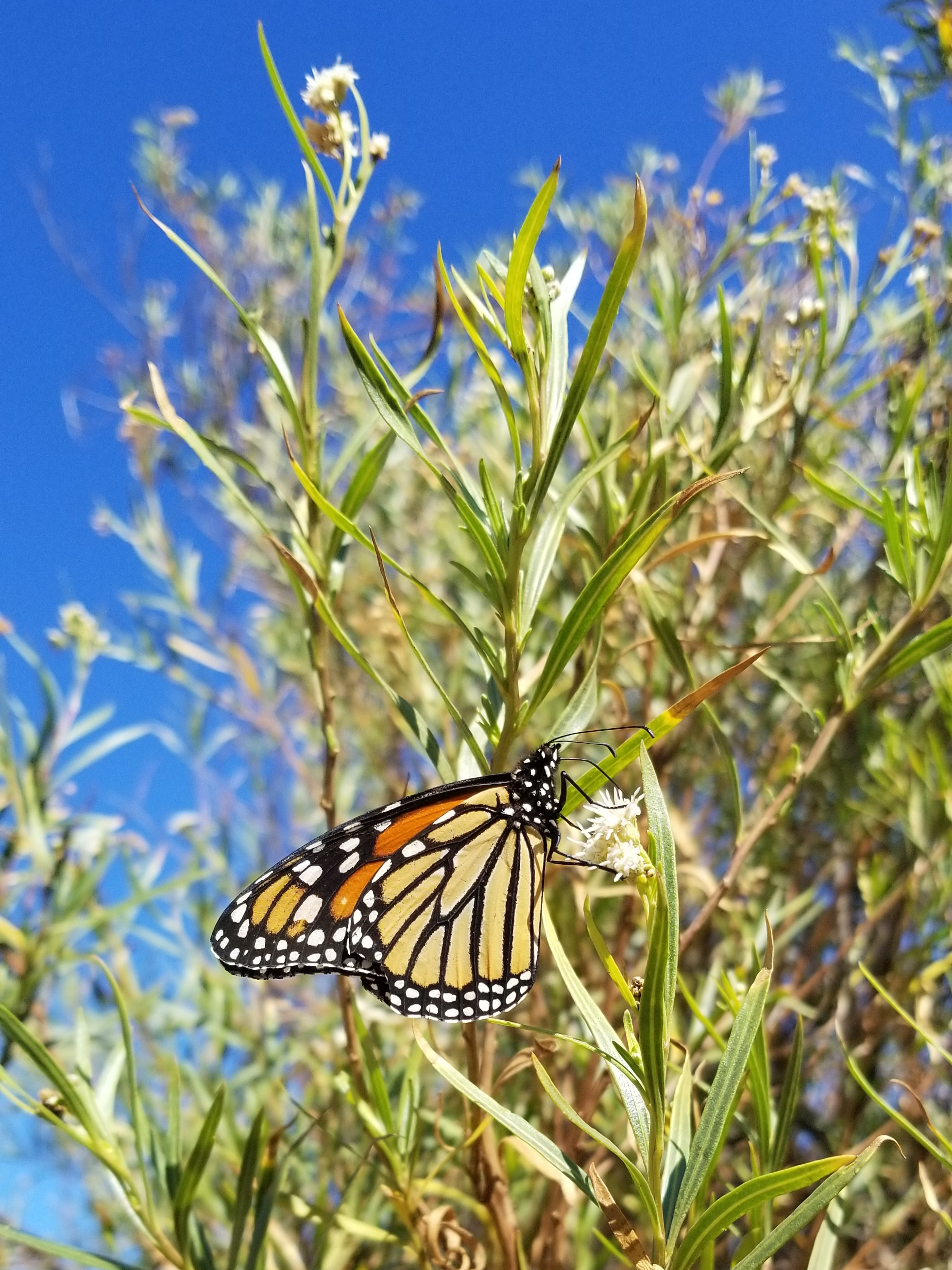 An orange and black monarch butterfly drinks nectar from the creamy-white flowers of mule fat