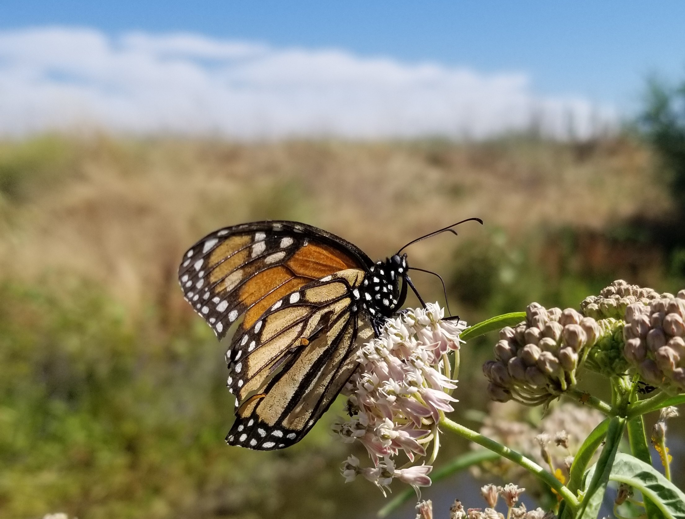 An orange and black monarch butterfly with tattered wings rests on a pink milkweed bloom