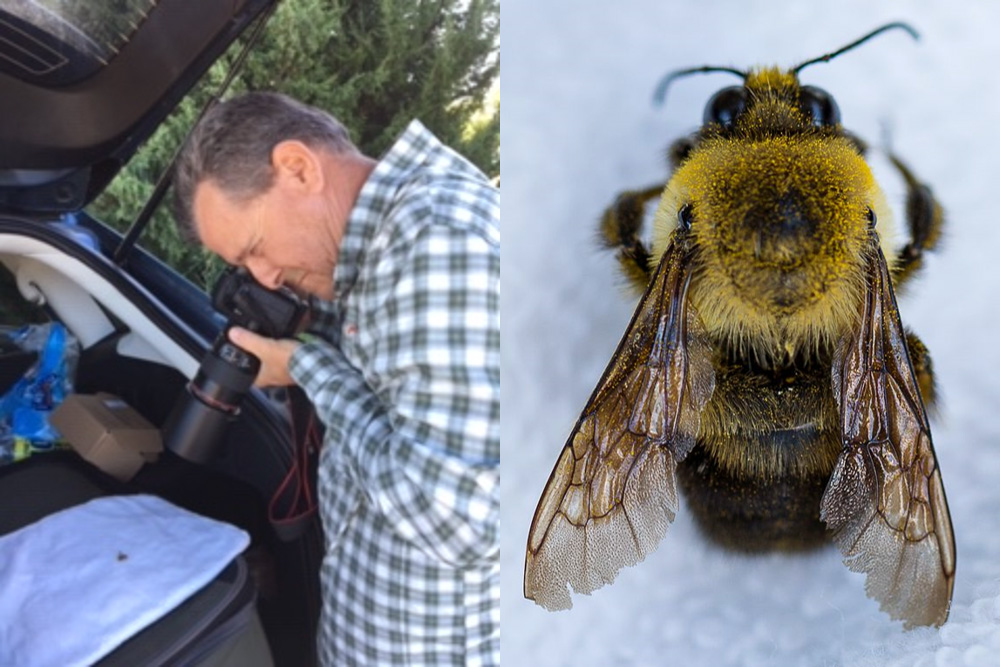 This two-panel image shows a man on the left, peering at a small object on a blanket in the open back of his SUV through a camera with a large lens. On the right is a close-up image of a fuzzy bumble bee on the same blanket.