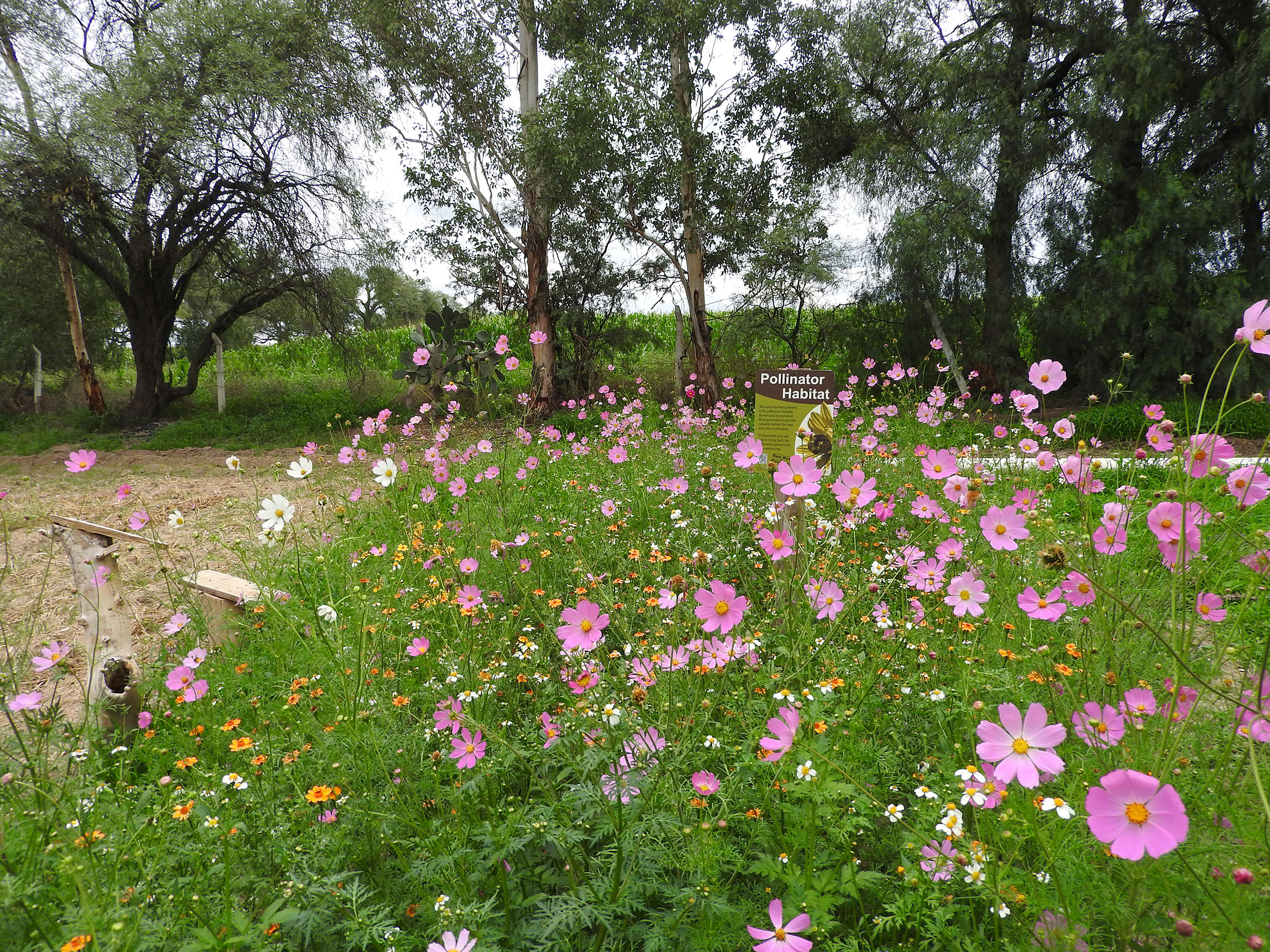 Now in full bloom, the pollinator habitat is covered in pink, white, and yellow flowers.