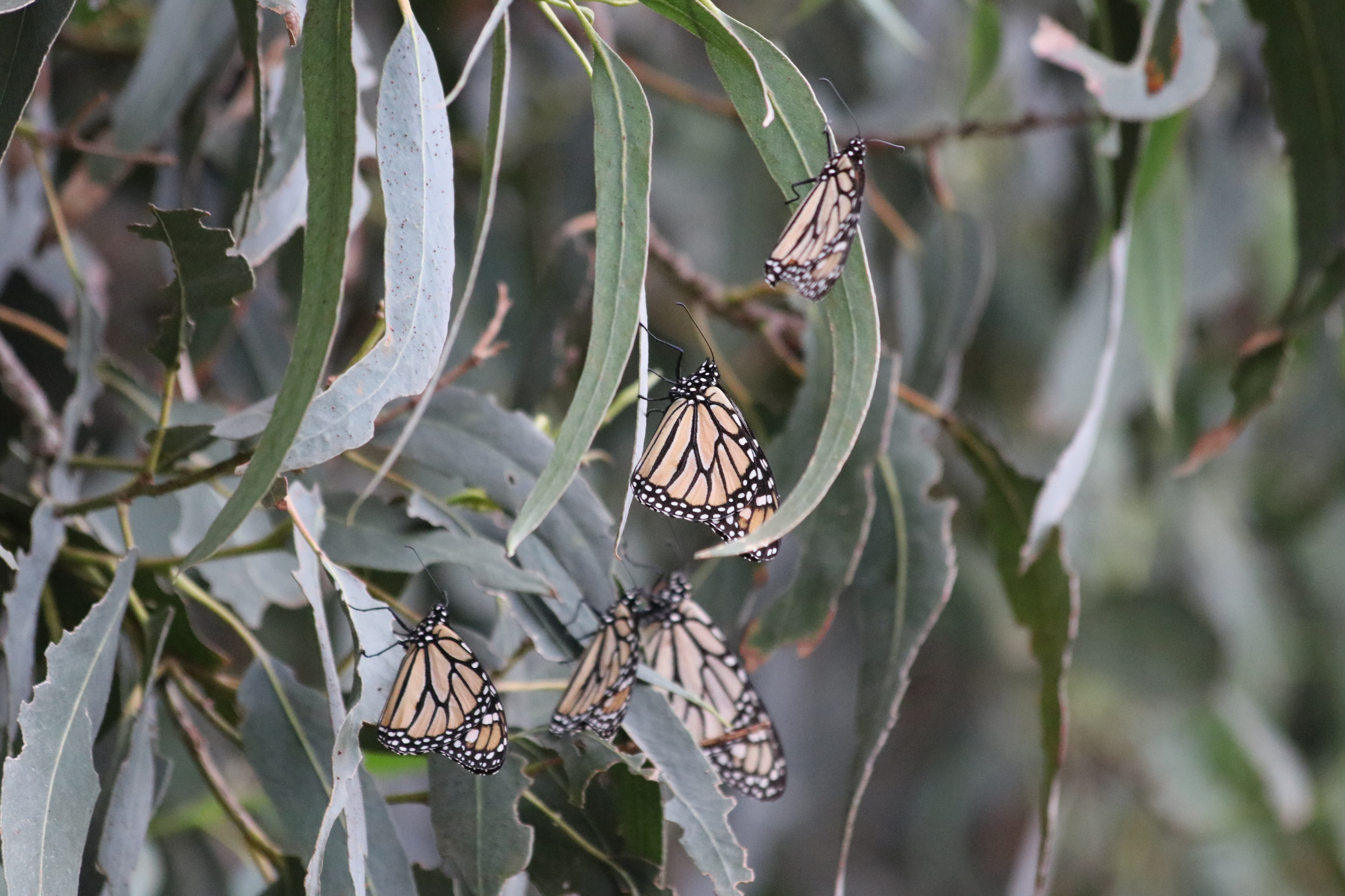 """Small clusters of monarch at an overwintering site"""