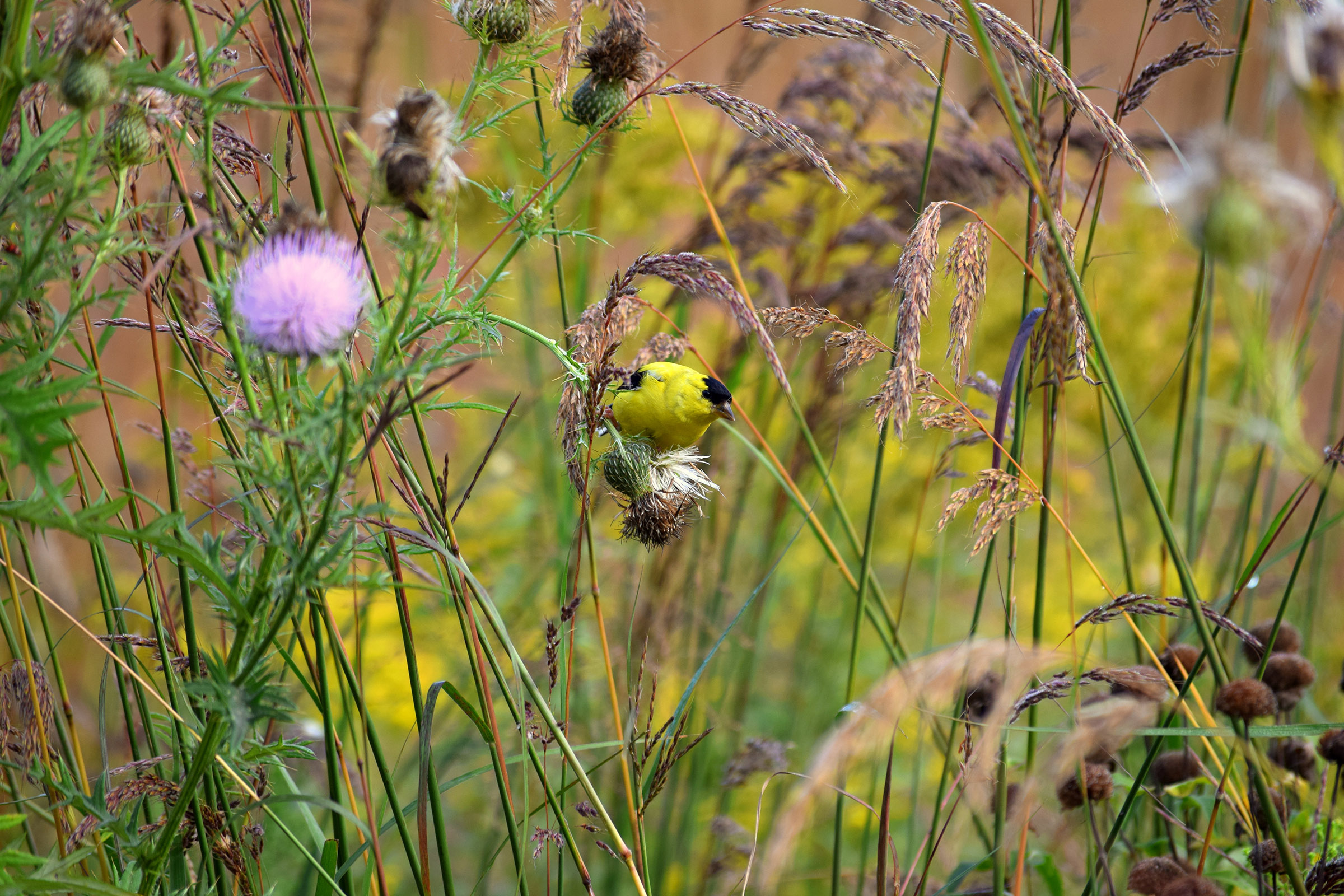 A brightly colored yellow and black goldfinch eats seeds from a pale pink thistle flower head.