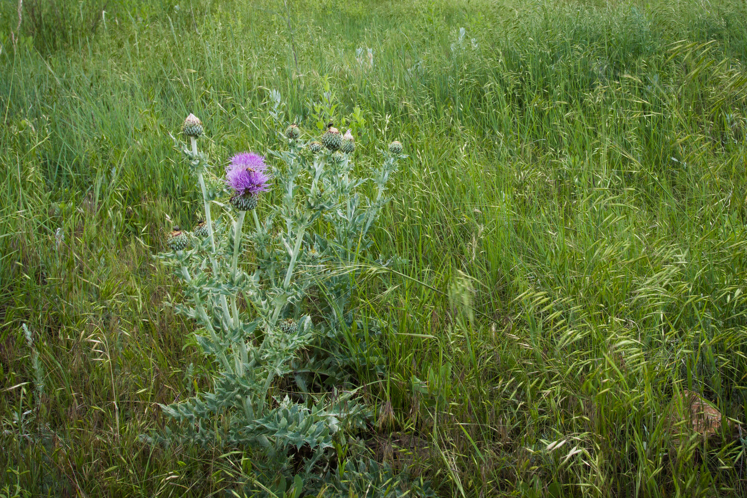 The wavyleaf thistle has silvery-green foliage and pink-purple flowers. The stem and leaves are covered in short pale hairs.