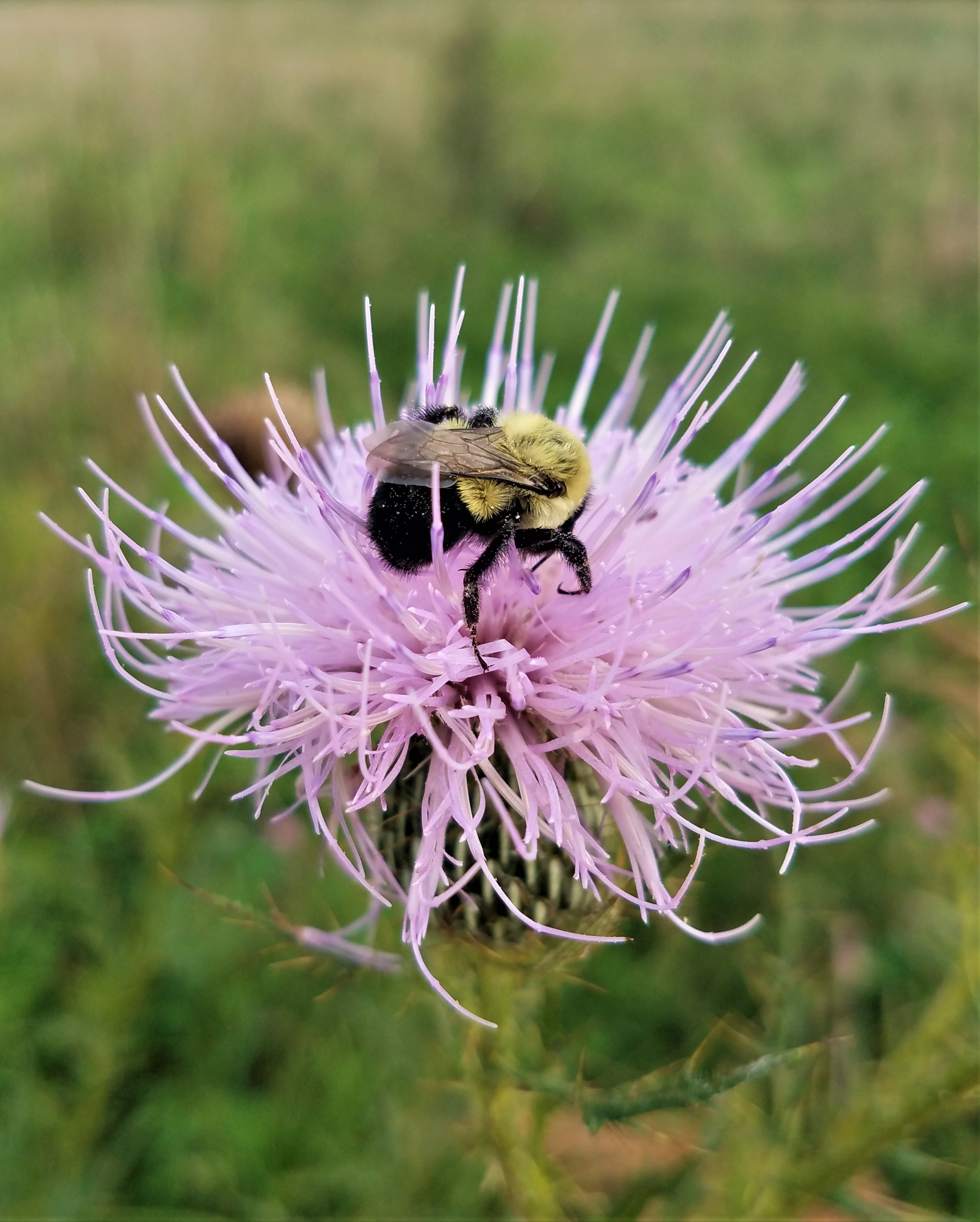 In the center of a large pink-colored thistle bloom is a black and yellow bumble bee.