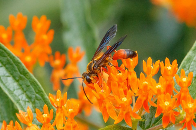 A wasp rests on small, brilliant orange flowers.