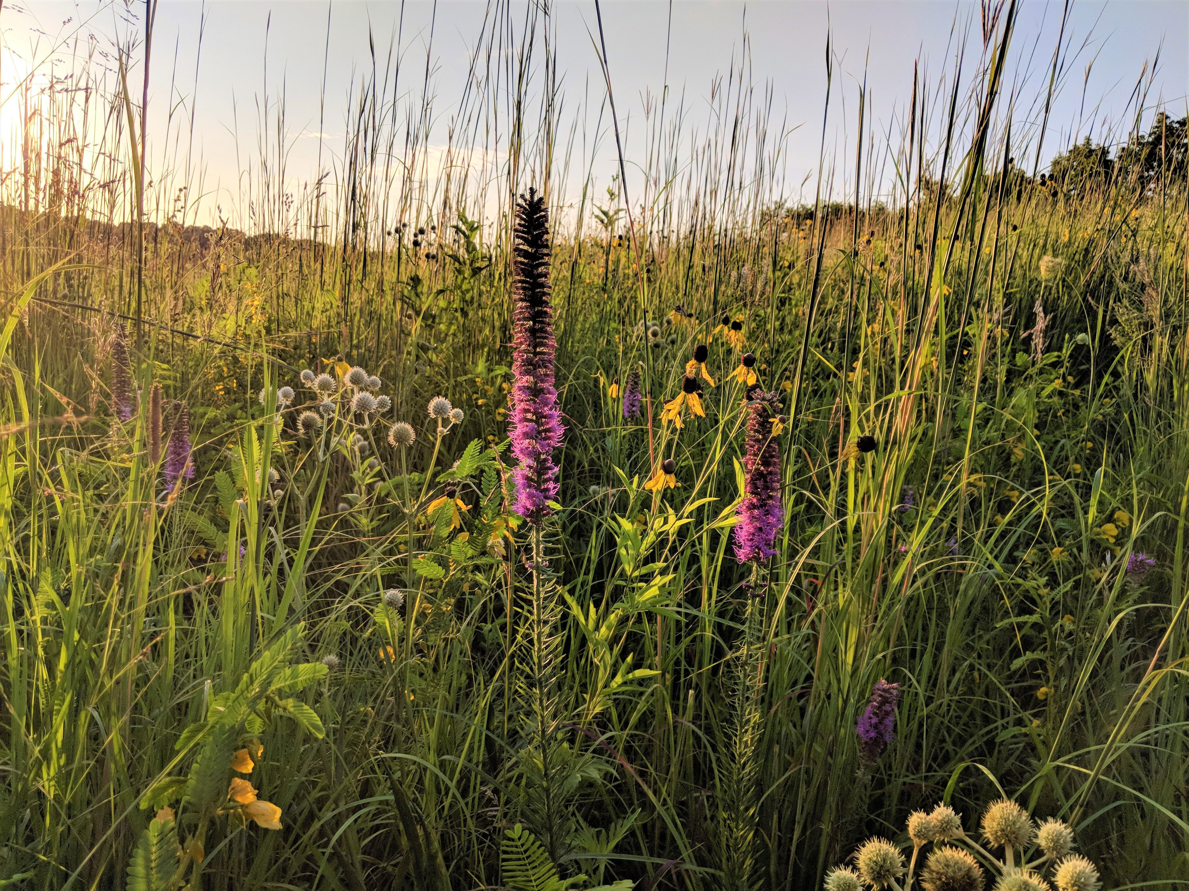 A beautifully backlit scene, in which the stems and blooms of the plants appear to glow in golden evening light, showcases a diversity of flowering plant species in a prairie landscape.