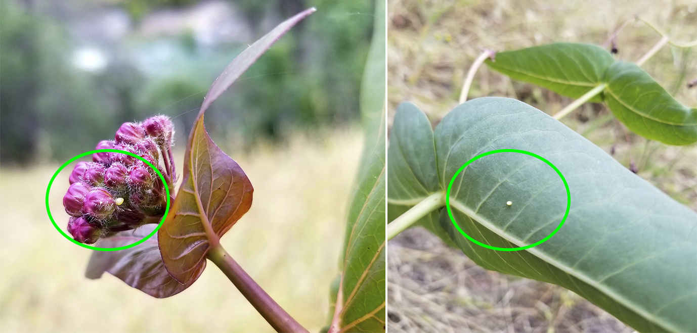 Two photos show a small, lime-green sphere on the underside of a maroon leaf. The egg is circled to make it easier to notice, because it is quite small!