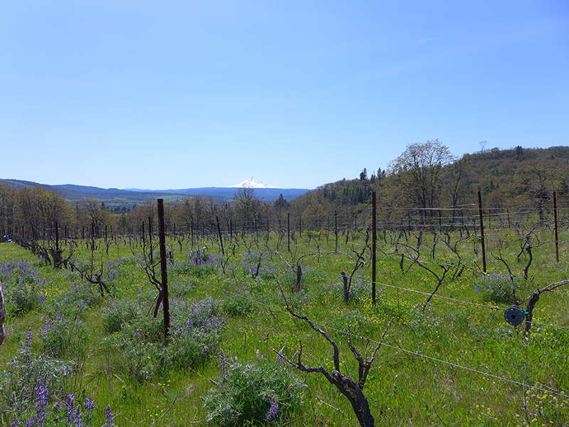 In the foreground is a vineyard with vines and blooming native plants, and in the distance is the triangular, white peak of Mt. Hood and blue sky.