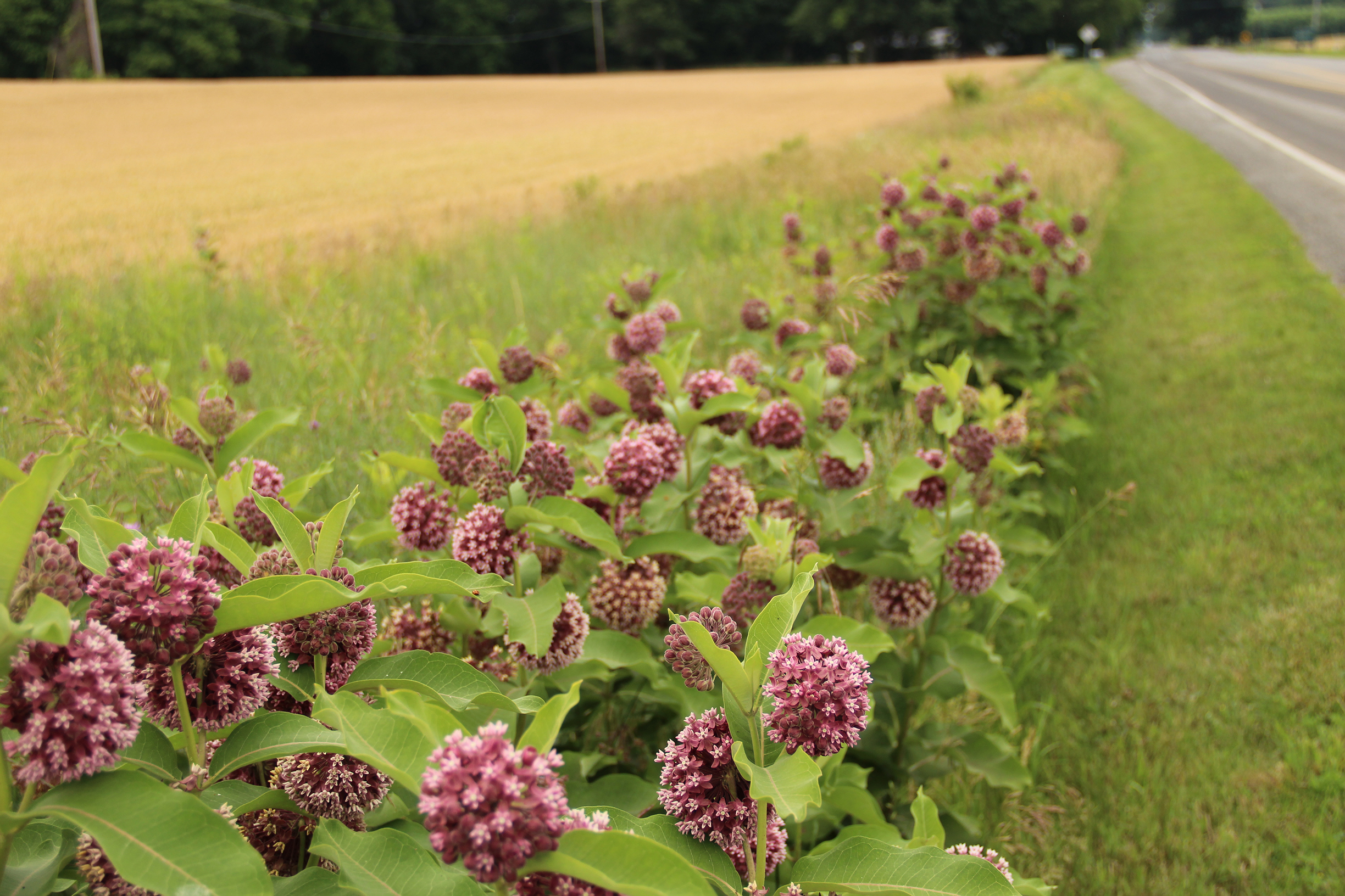 Ball-shaped, purple flower heads of the milkweed growing in a ditch add color to this rural roadside