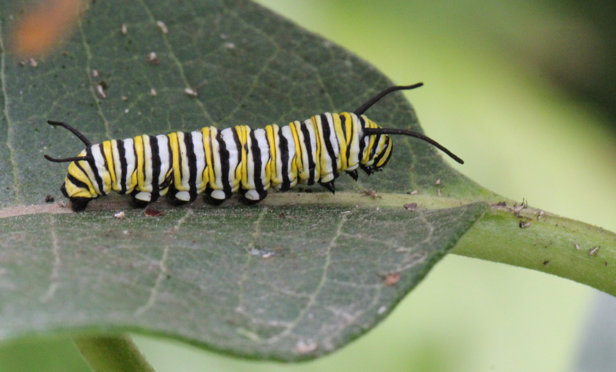 A black, yellow, and white striped monarch caterpillar on a dark green milkweed leaf.