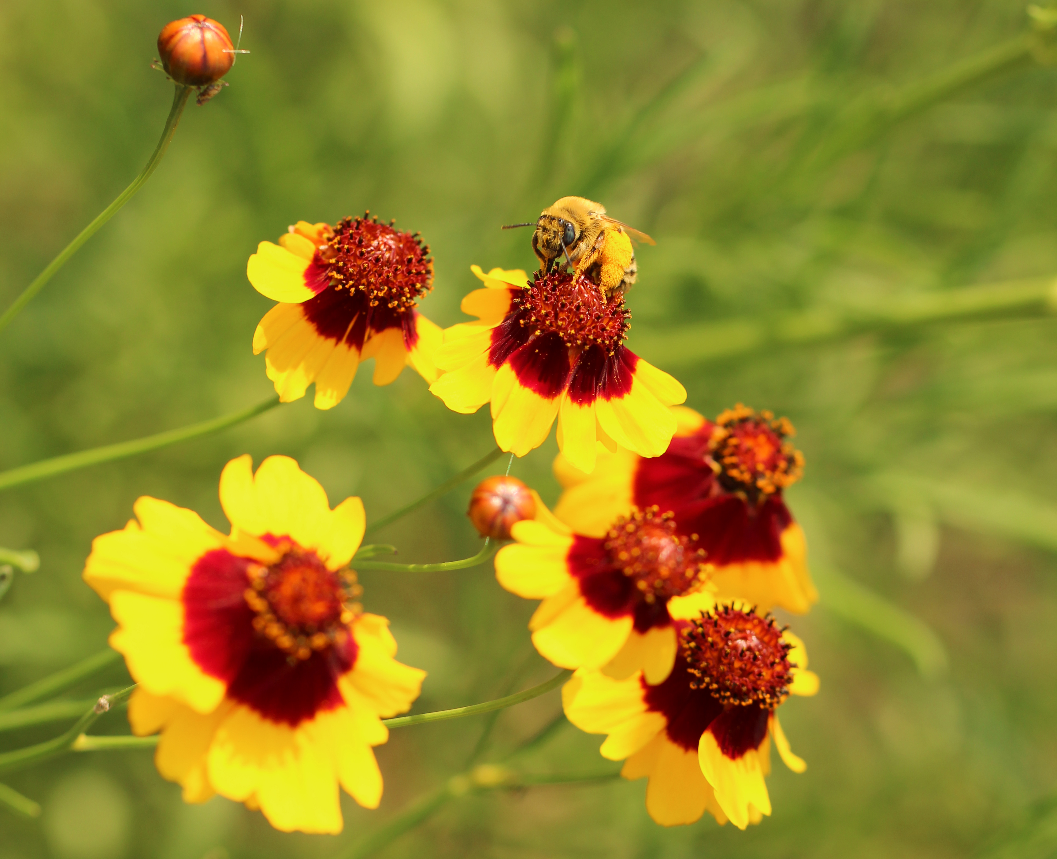 Bumble bee collecting pollen from a bright yellow and red plains coreopsis.