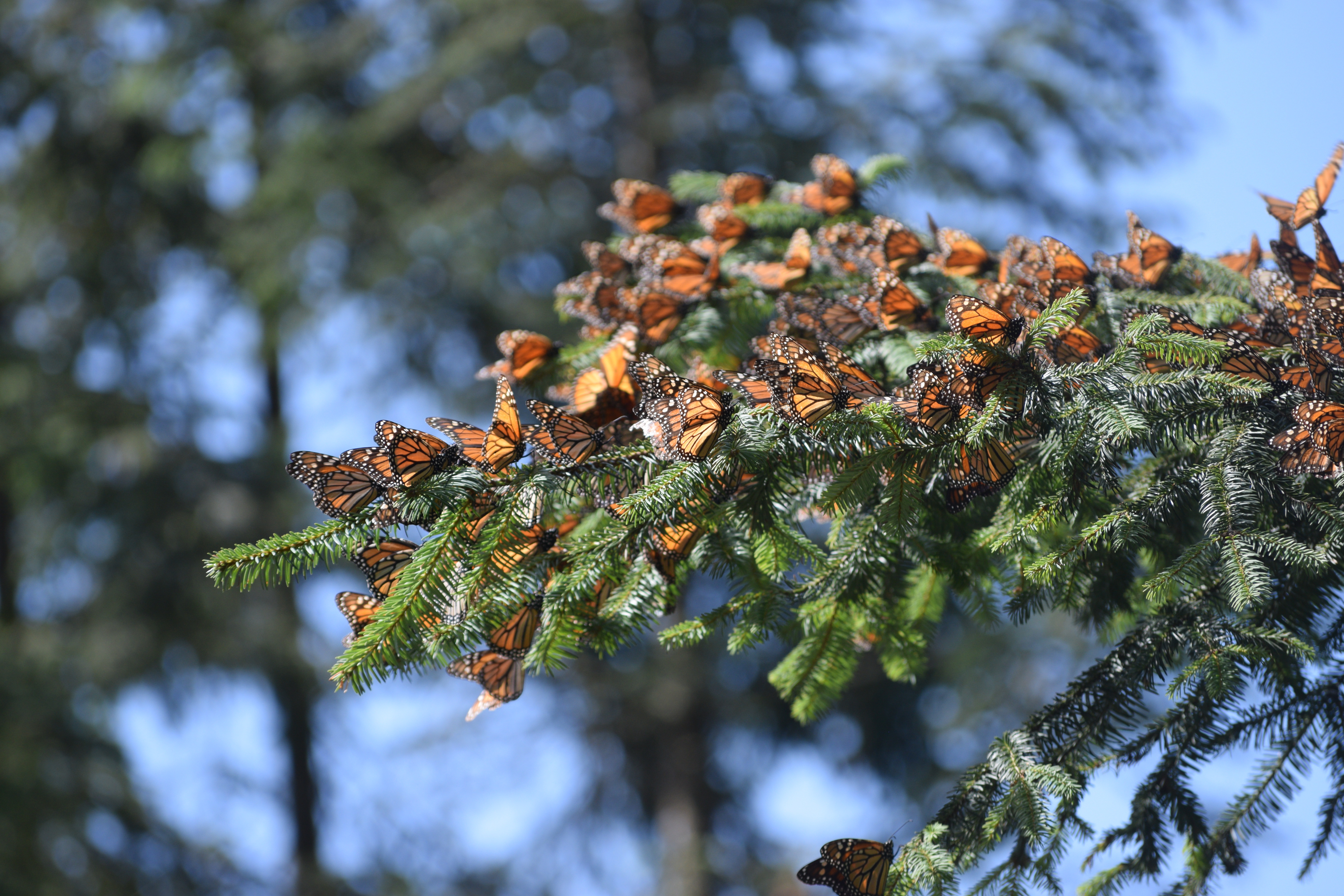Bright orange monarchs cluster together on a deep green pine branch.