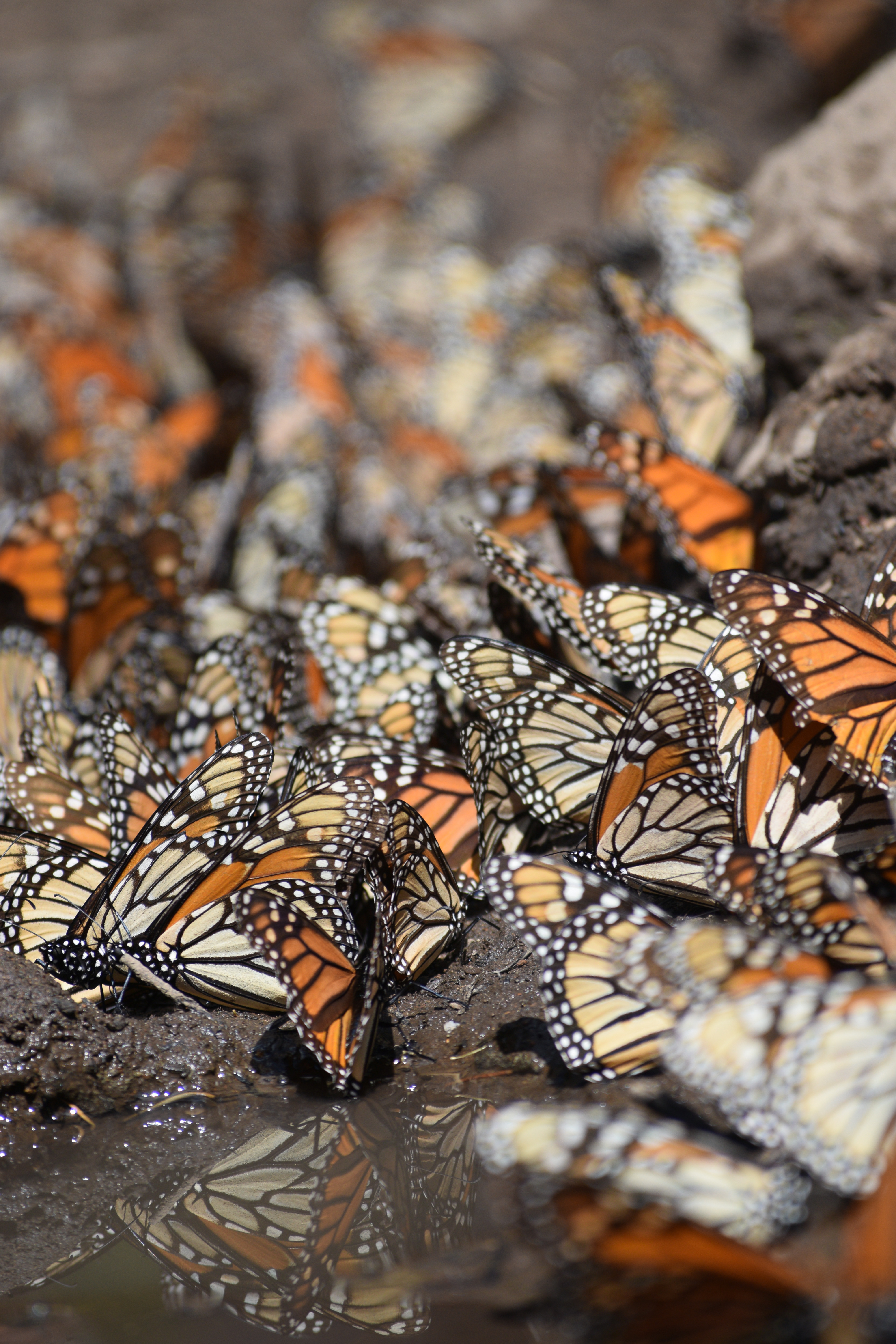Monarchs stand close together on muddy ground on the edge of a puddle.
