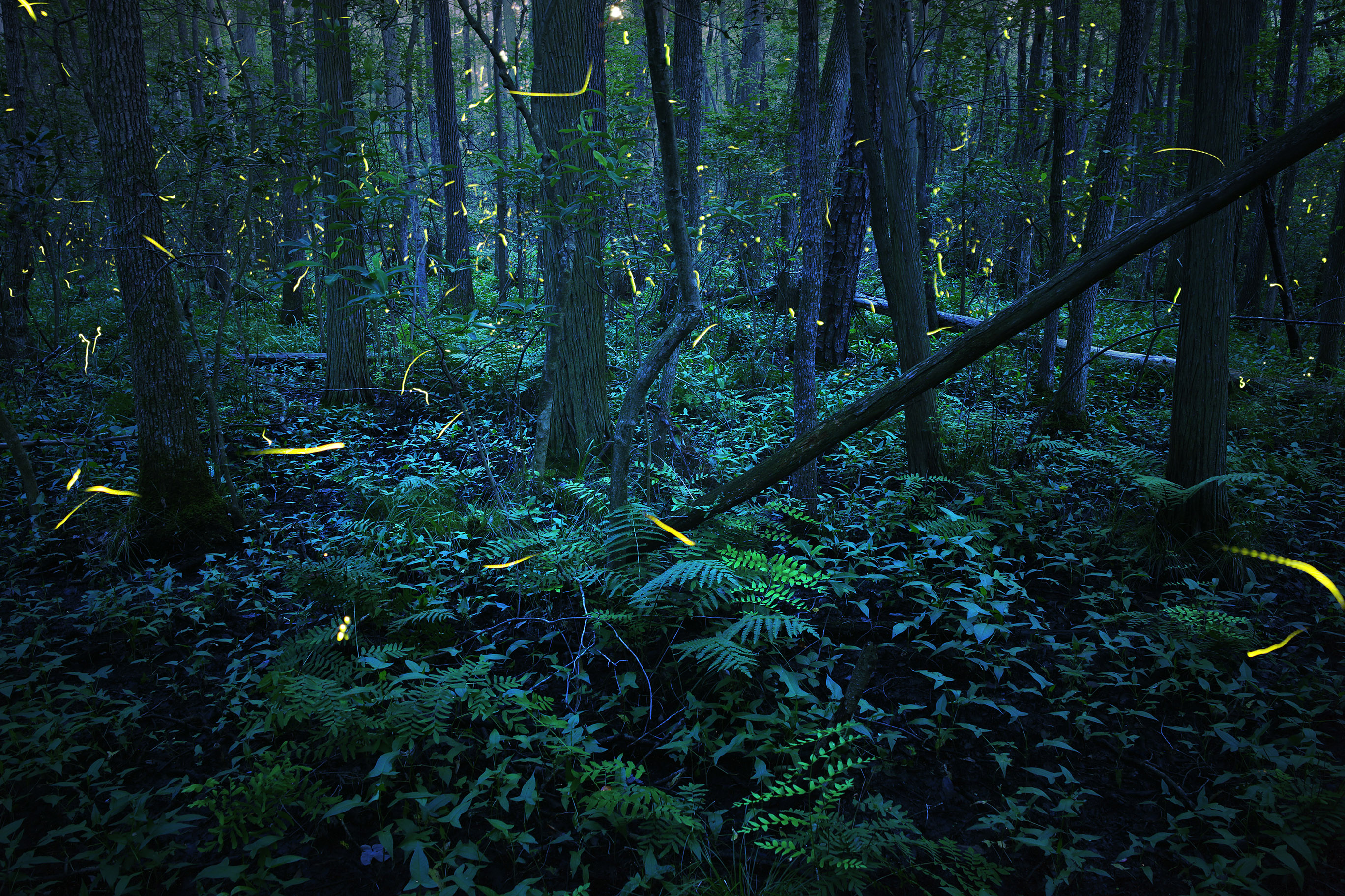 The flashing lights of a mass of fireflies add specks of light to this evening view of a forest