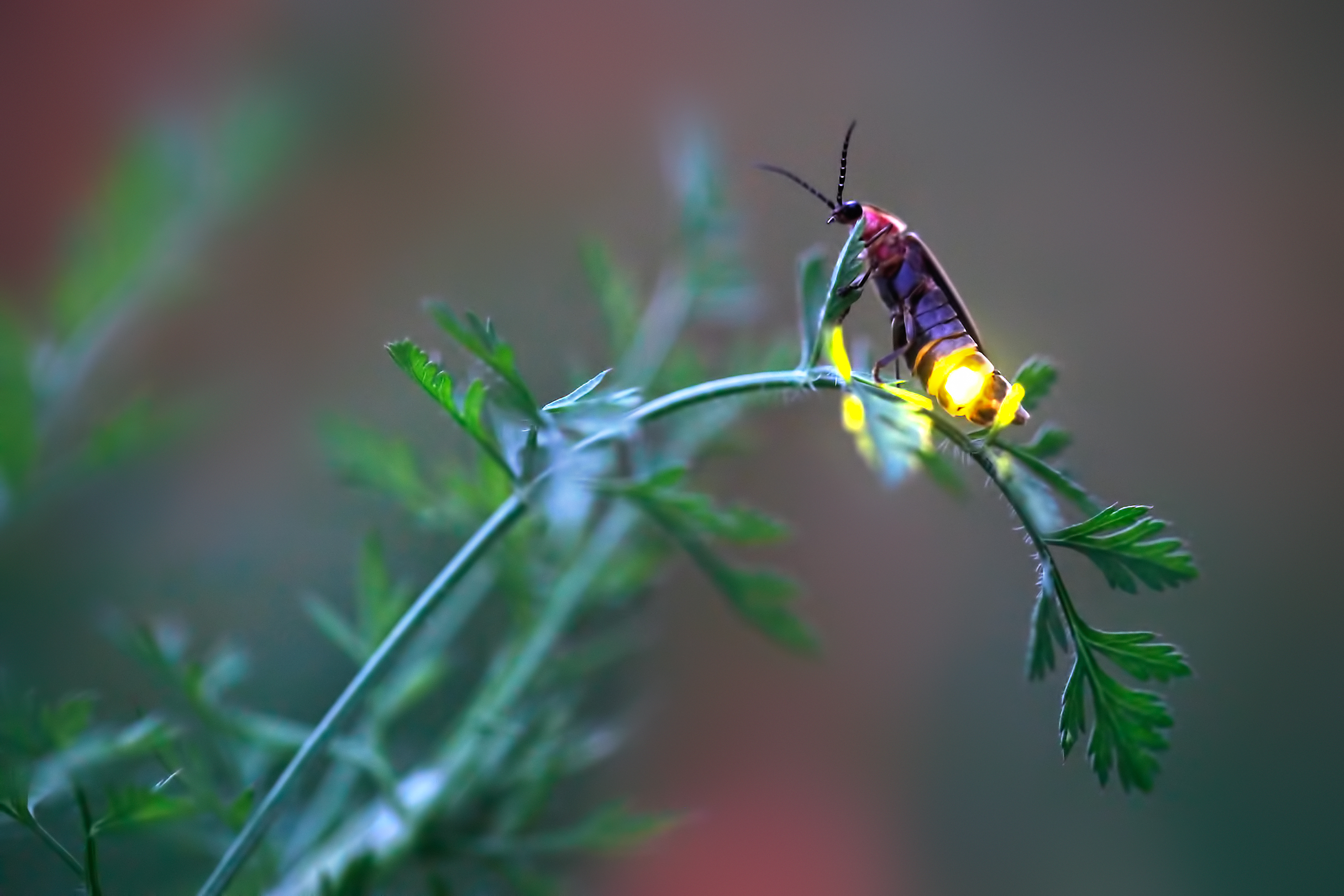 A female firefly flashes from her perch on the tip of a curving twig