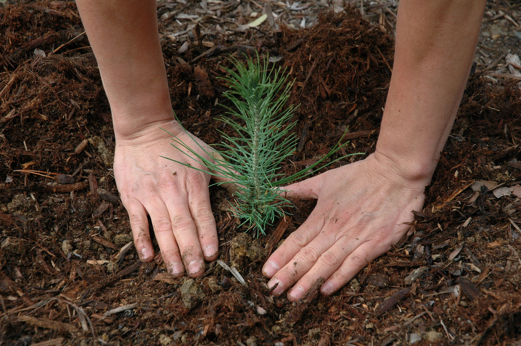 A pair of hands encircles the dirt around a freshly planted pine tree seedling.