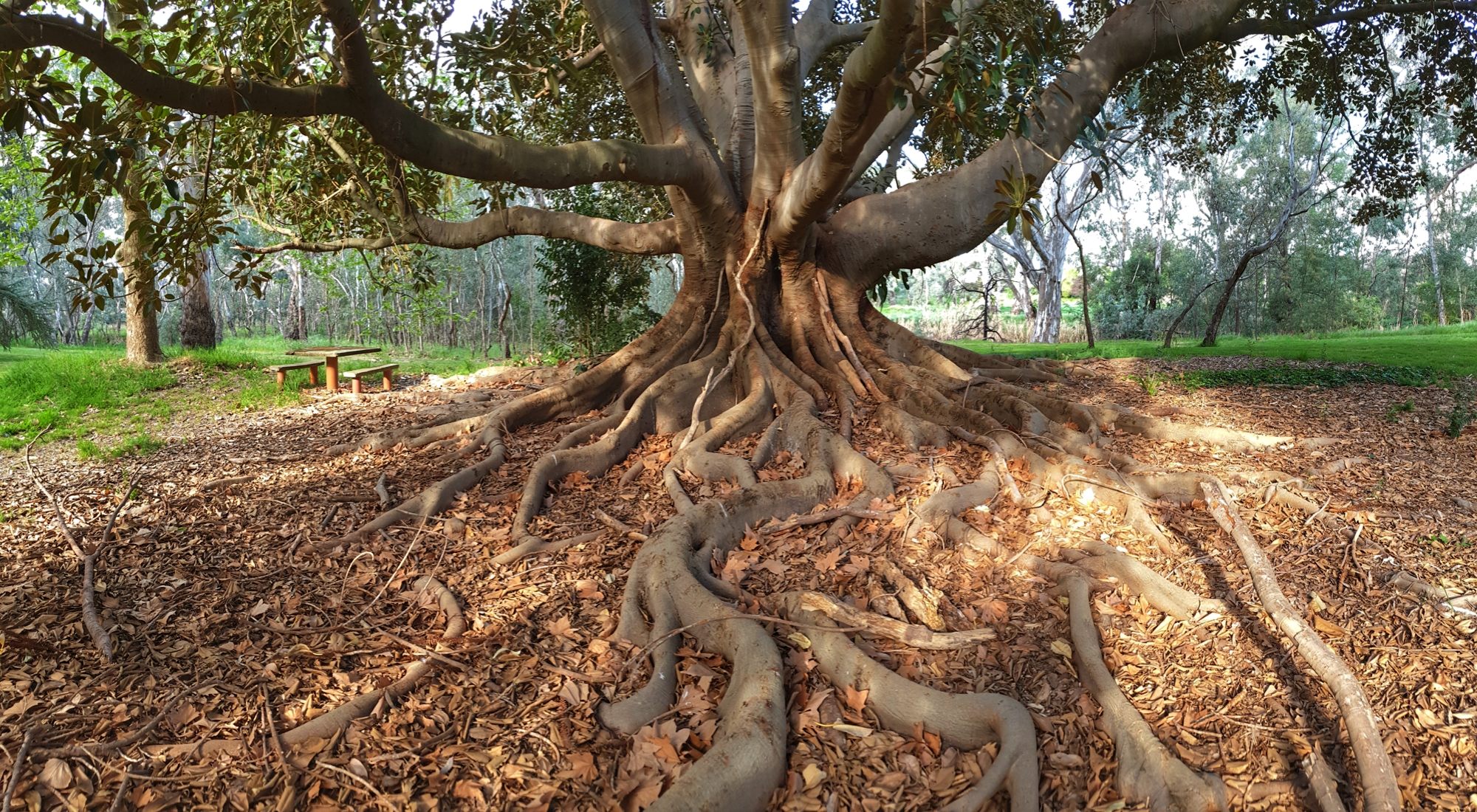 A tree with large, sinuous roots.