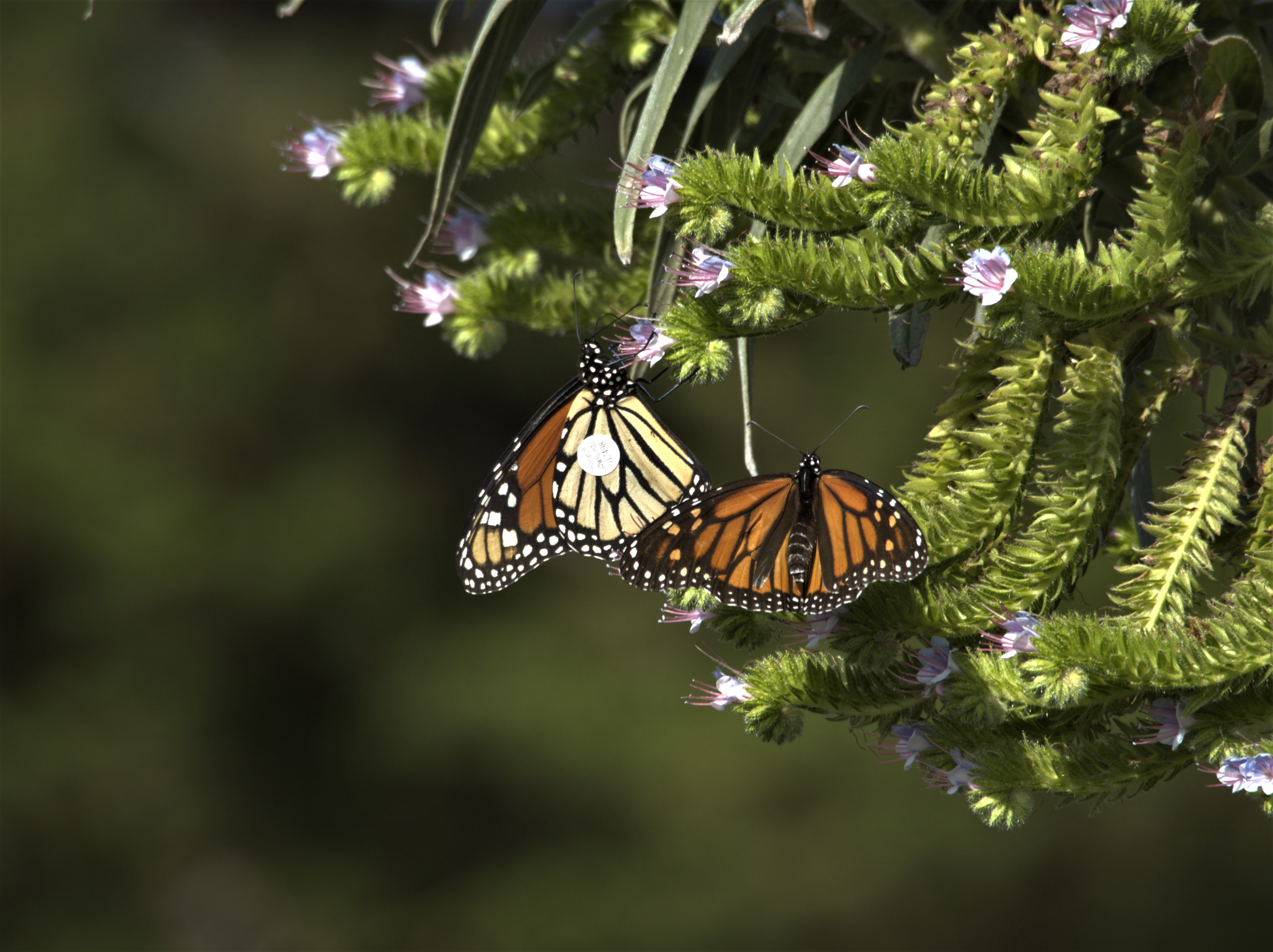 Two monarchs with small, round, white tags on their wings perch on bright green branches tipped with small, pale purple flowers.