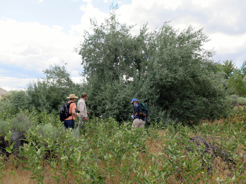 Attendees at the WA workshop searched for monarch eggs and caterpillars near a large stand of showy milkweed (Asclepias speciosa). Photo: The Xerces Society/Candace Fallon