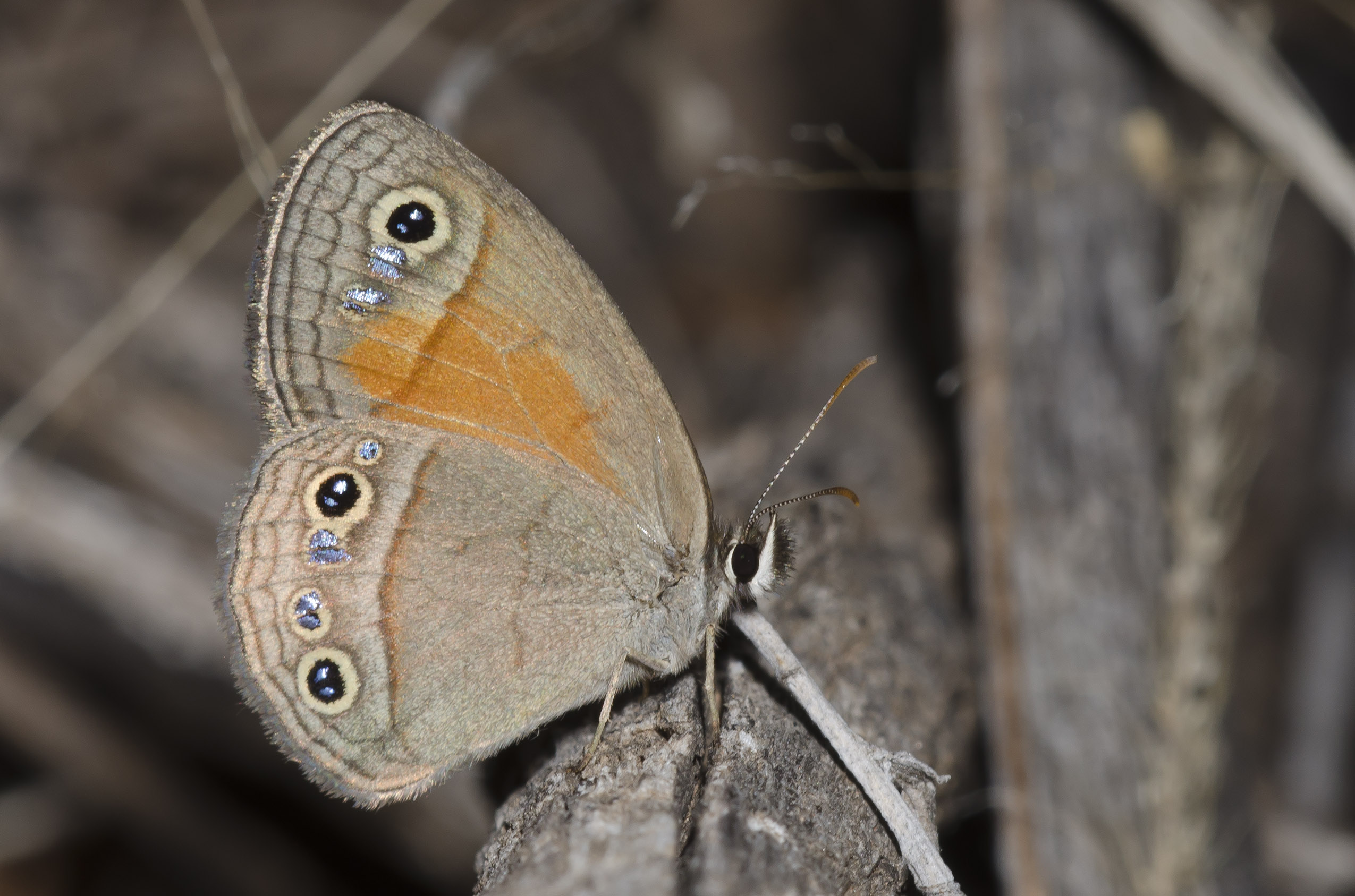A brown and orange butterfly sits with its wings closed above it's body. The wings have a row of dark eyespots