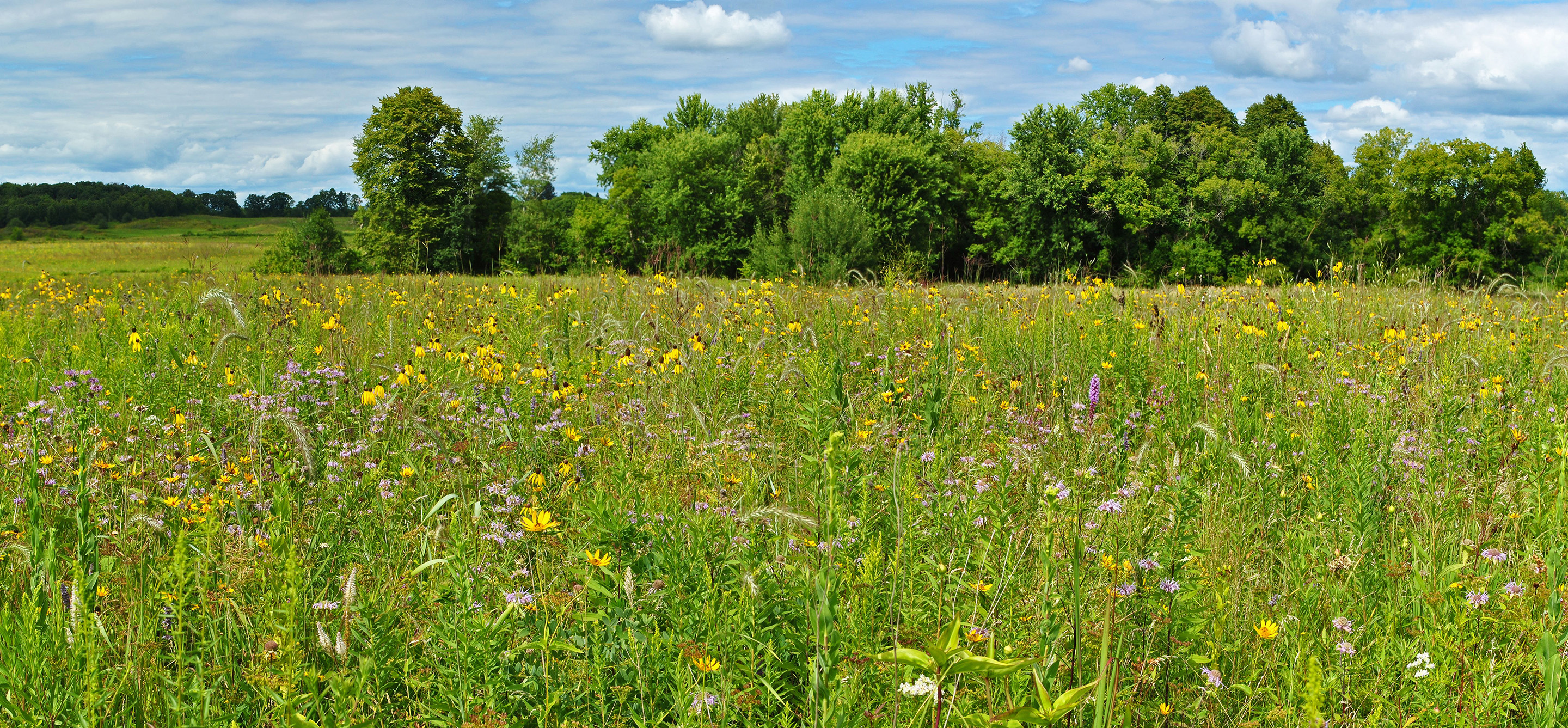 A Midwestern prairie full of yellow and purple flowers