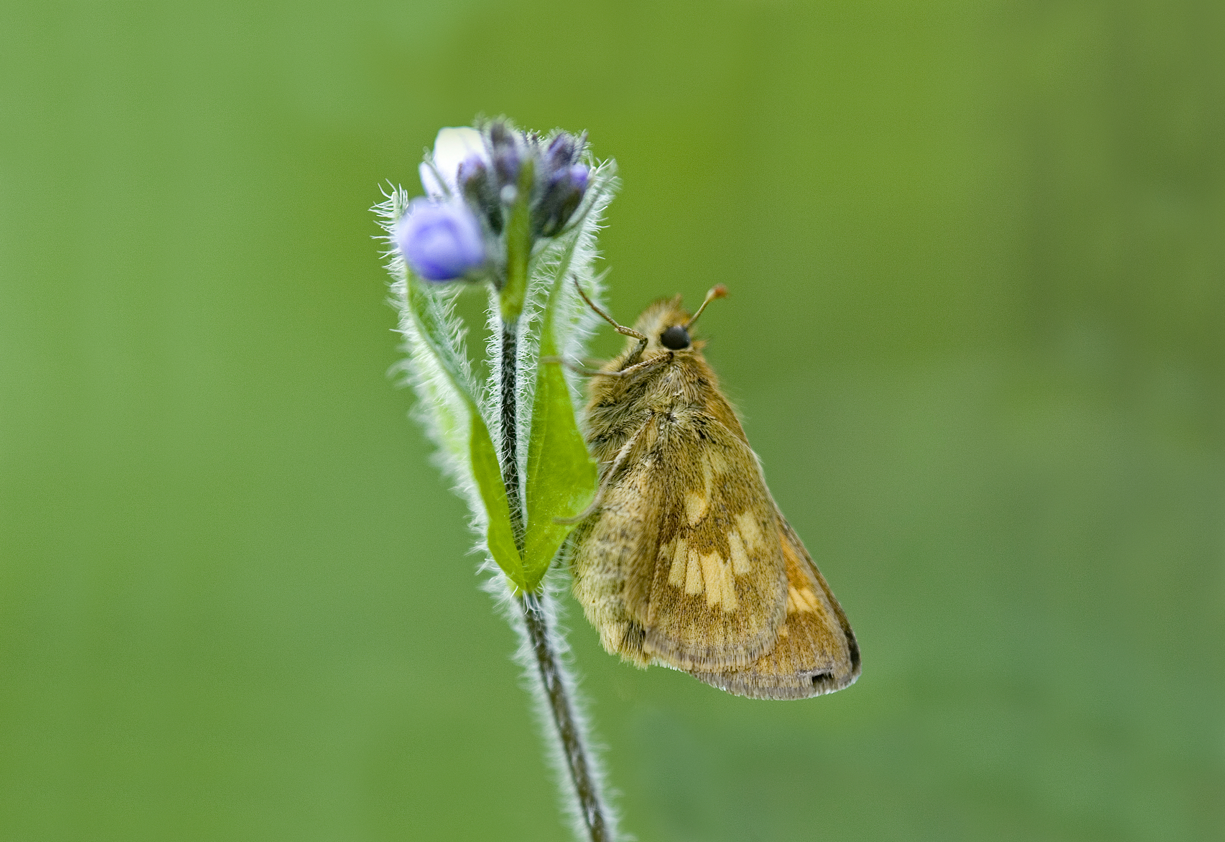 A small brown butterfly clings to an upright flower stem. It is set against a green background.