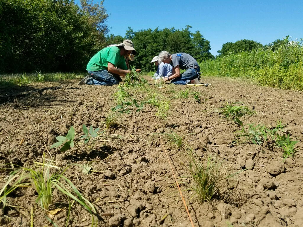 People kneel in the dirt, planting native species to create a beetle bank.