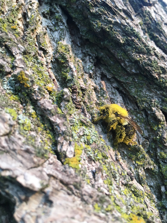 A pollen-covered bee perches on bark.