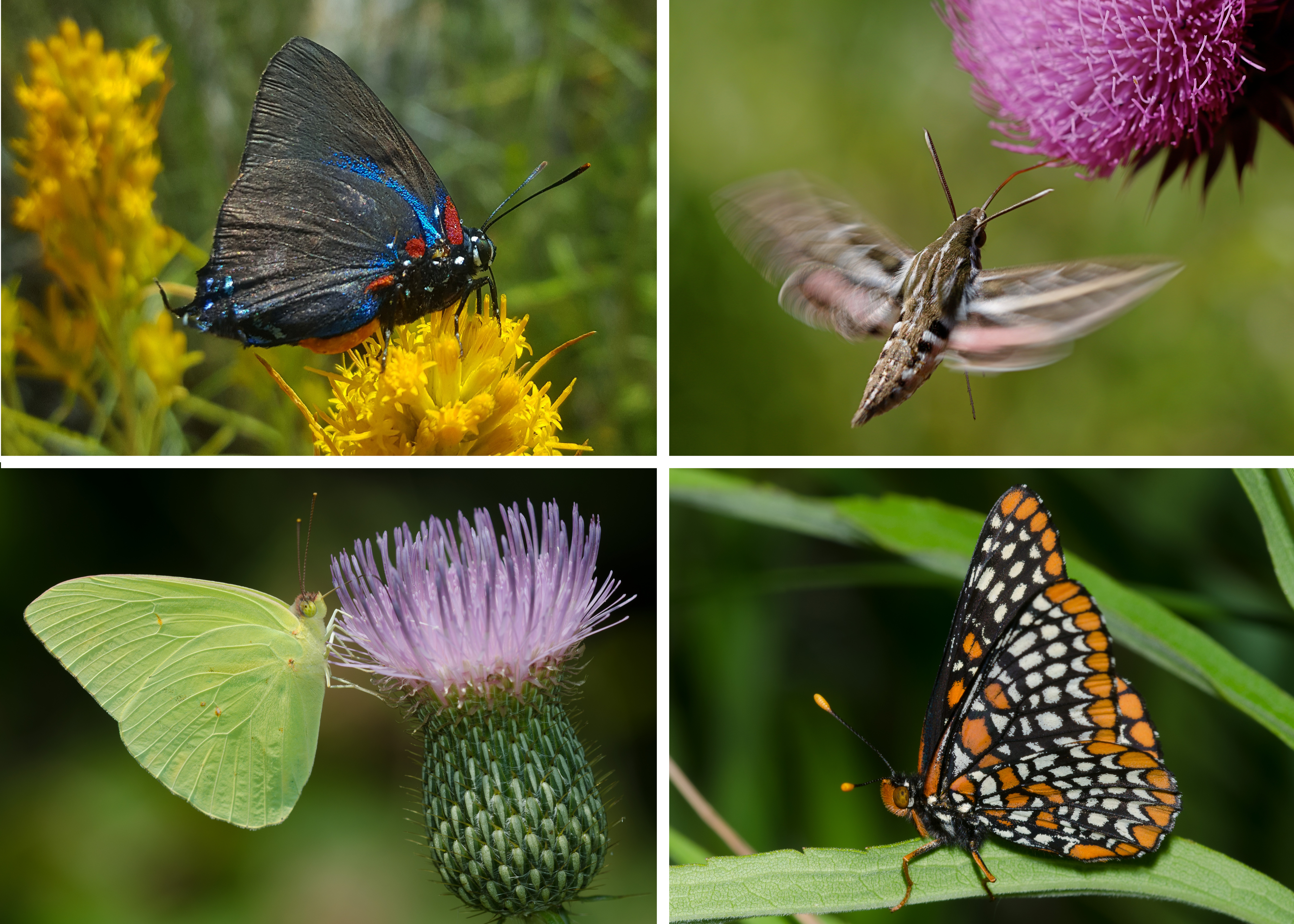 An assortment of colorful images of butterflies and moths demonstrates the diversity within Lepidoptera.