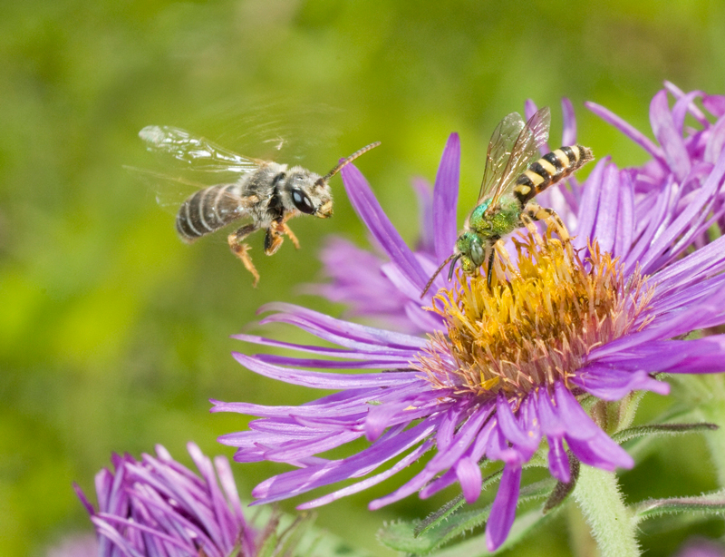 One bee with a shiny, green body perches atop a purple, daisy-like flower, while alnother bee with tan and black stripes hovers in the air nearby.